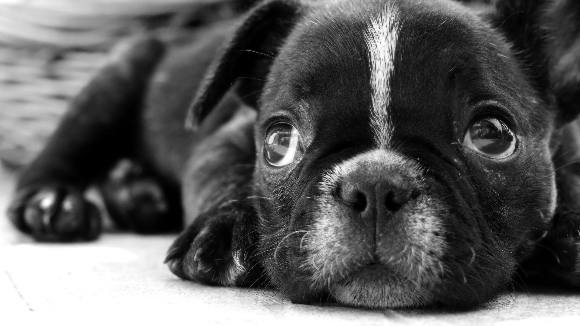 Black And White Photos Of Dogs