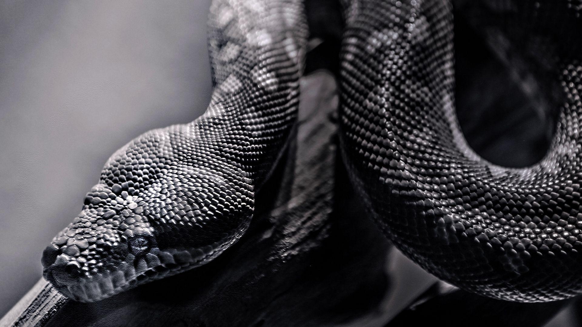 Black Snake Wallpaper