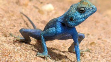 Blue Agama Lizard Photos