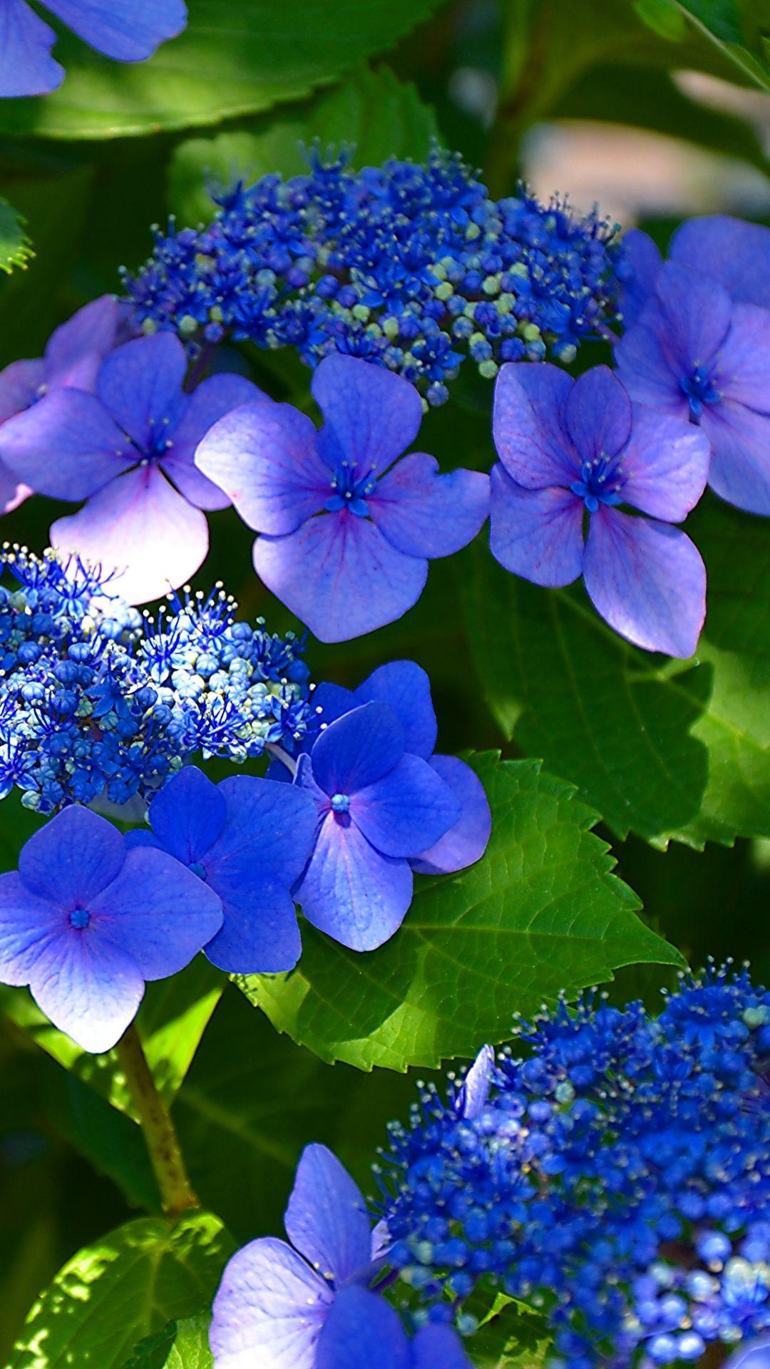 Blue Hydrangea Japan