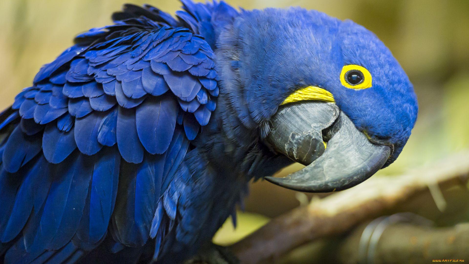 Blue Macaw Parrot Photos