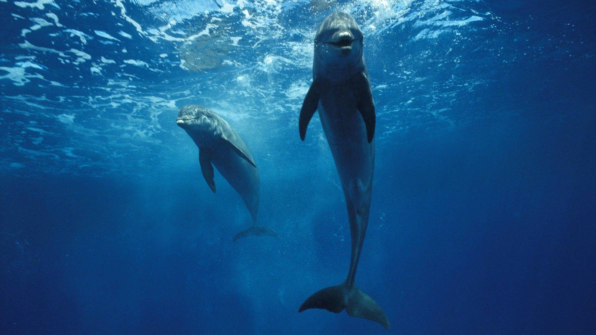 Bottlenose Dolphin Dolphin Under Water