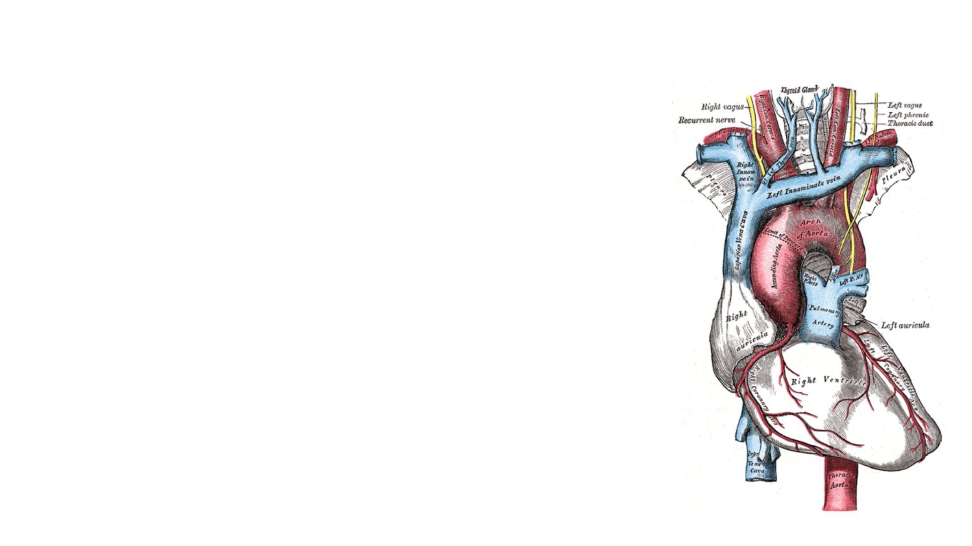 Brachiocephalic Trunk Anatomy