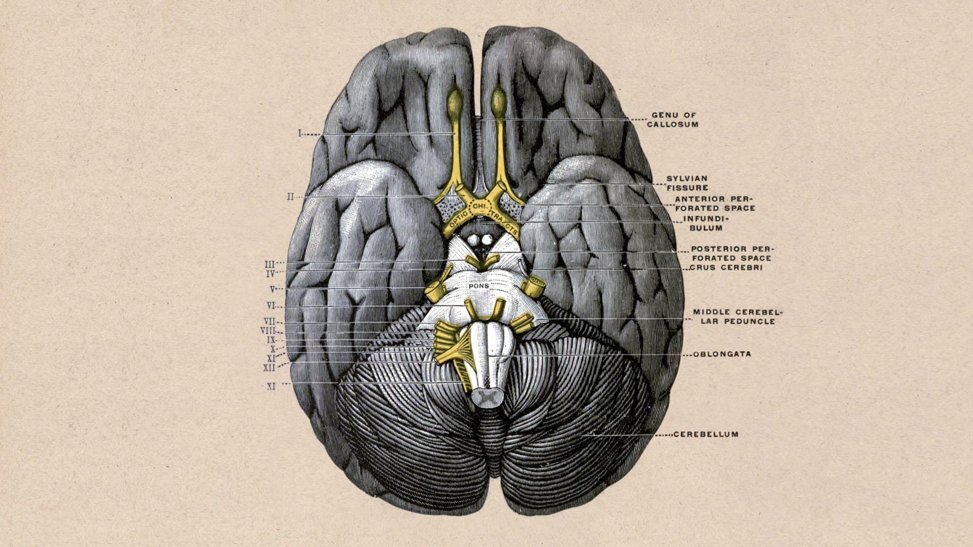 Brain Bottom View