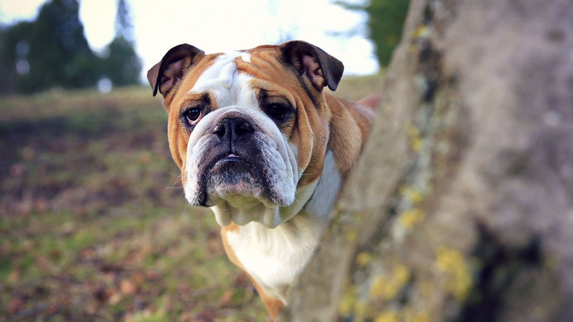 Breed Of Dog Bulldog Photo