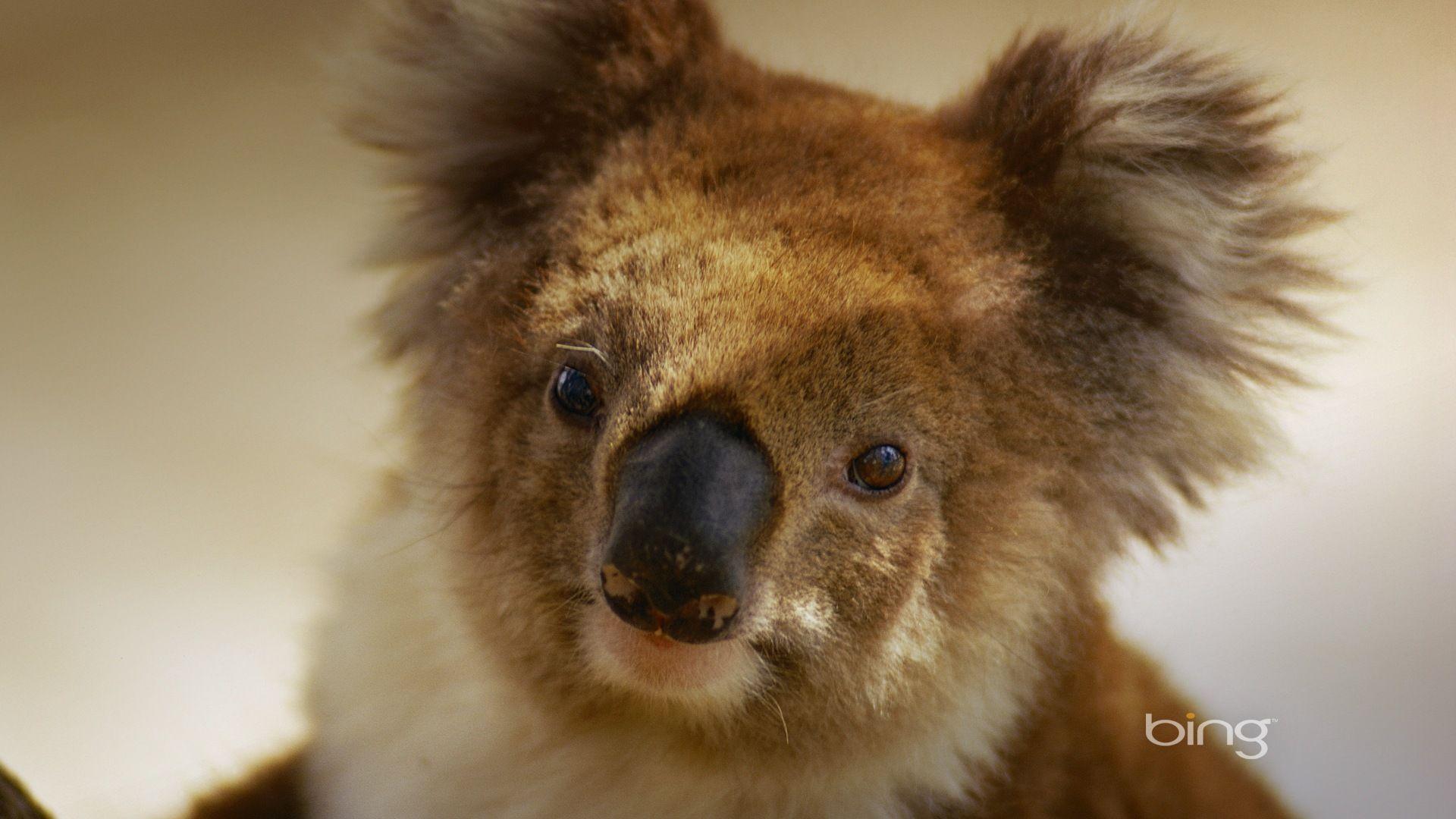 Brown Koala