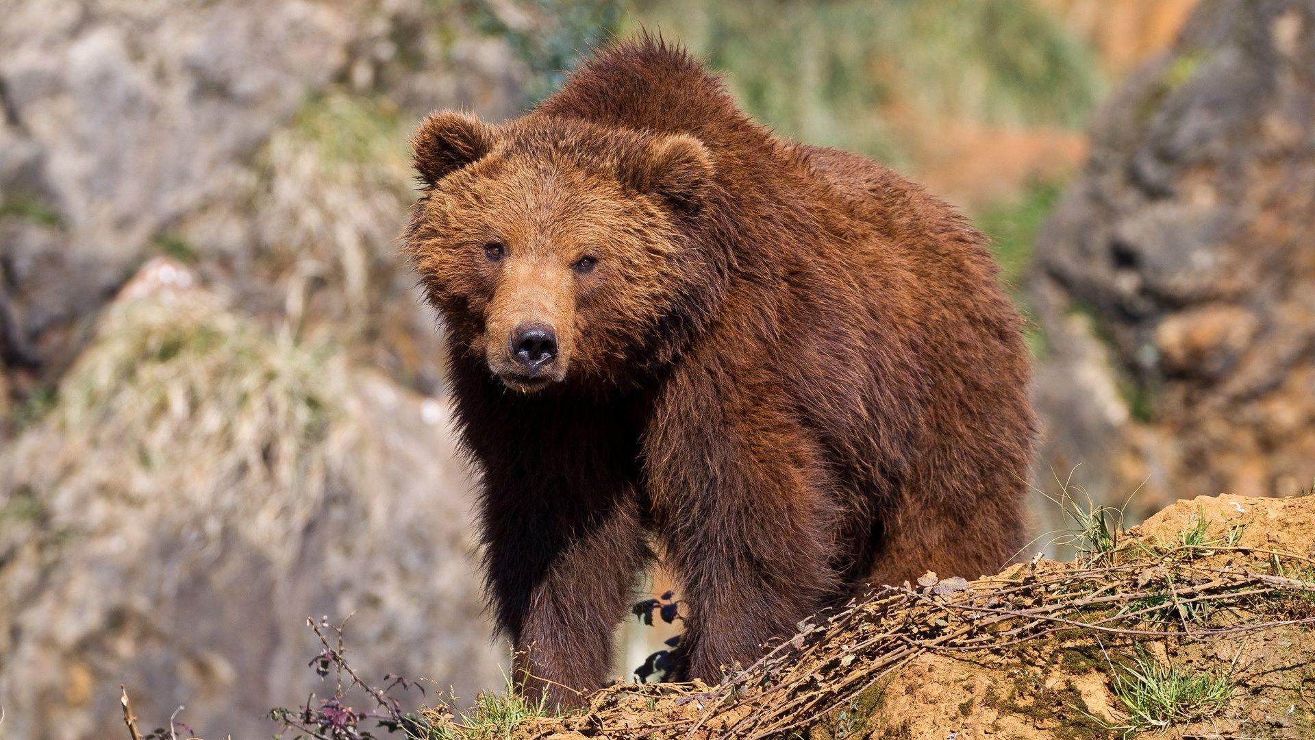 Brown Bear Tyumen Region