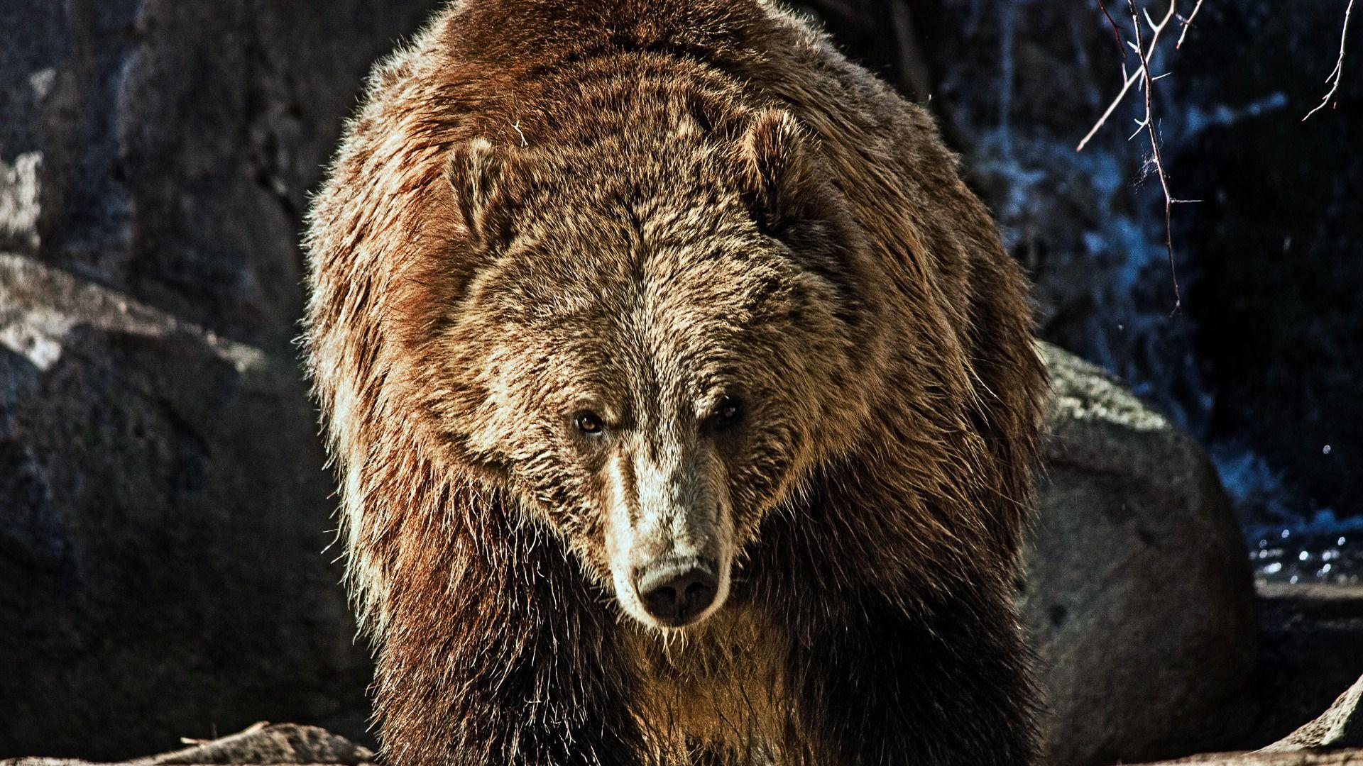 Brown Bear Evil