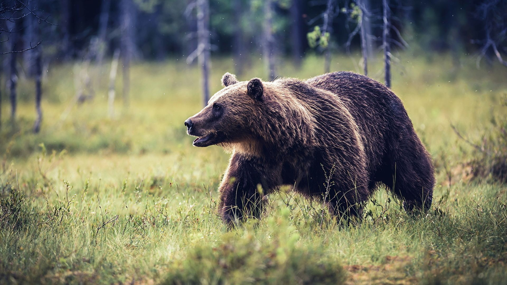 Brown Bear In Nature Photo