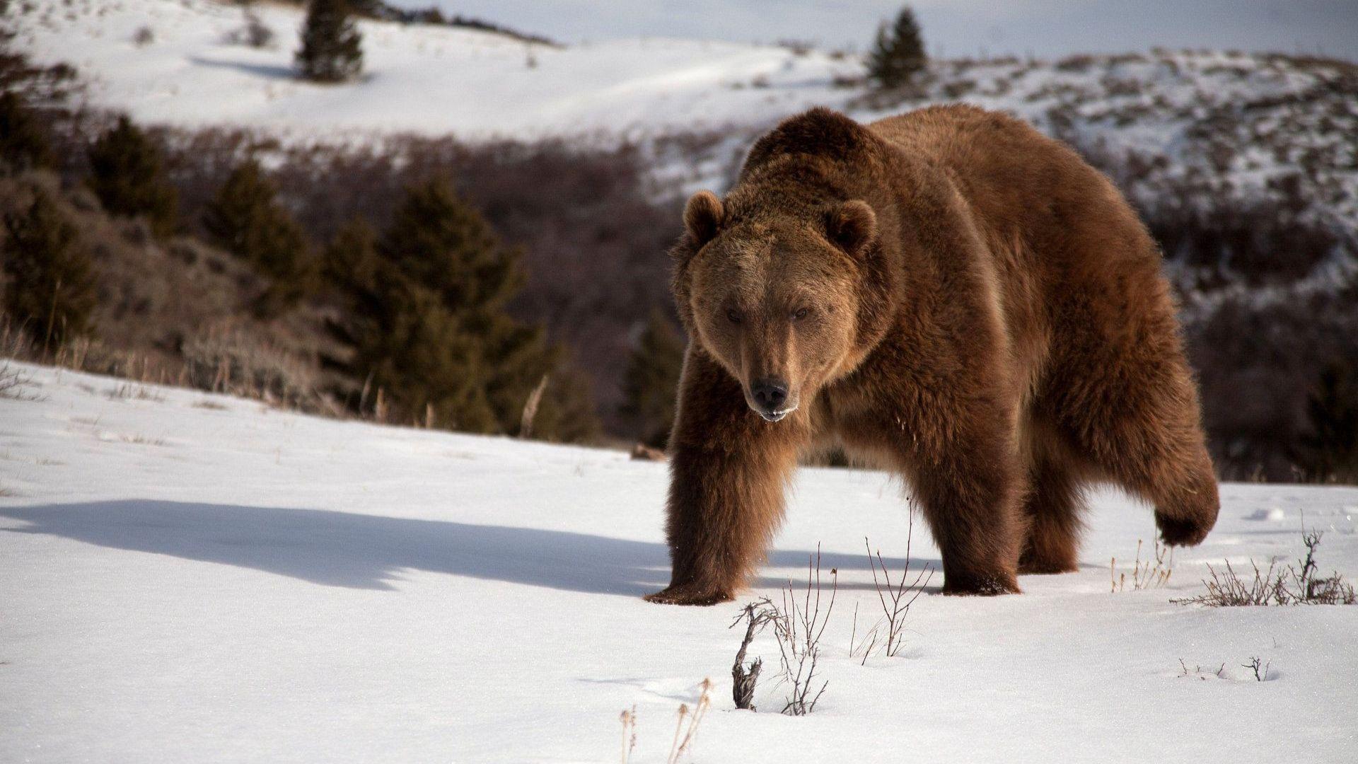 Brown Bear In Winter Photo
