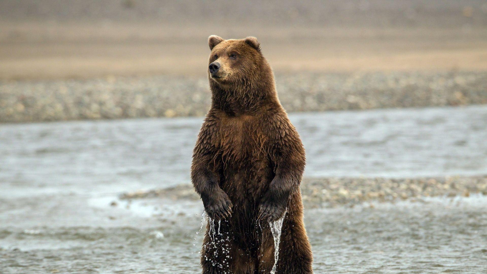 Brown Bear On Hind Legs