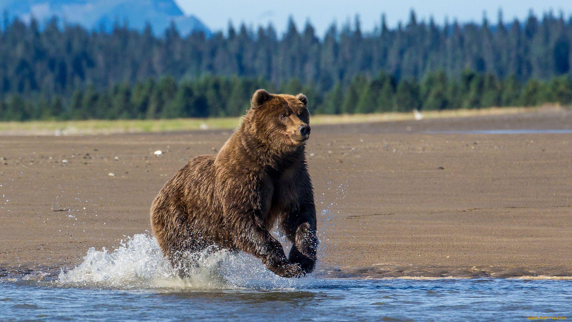 Brown Bear Runs