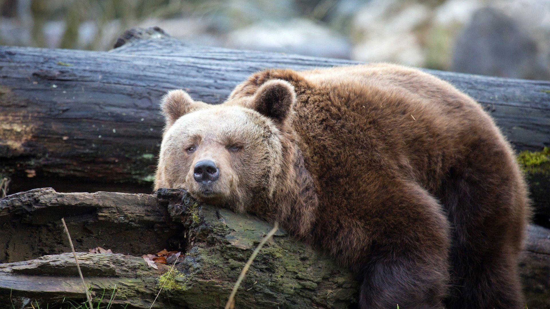 Brown Bear Sad