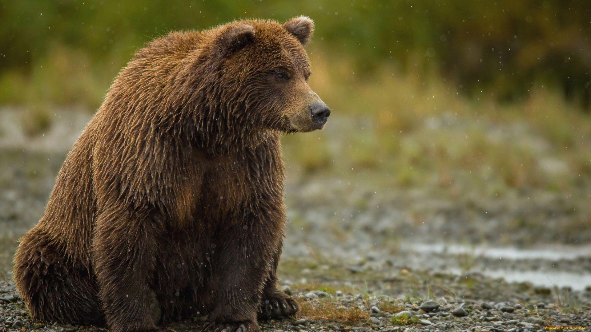 Brown Bear Side View