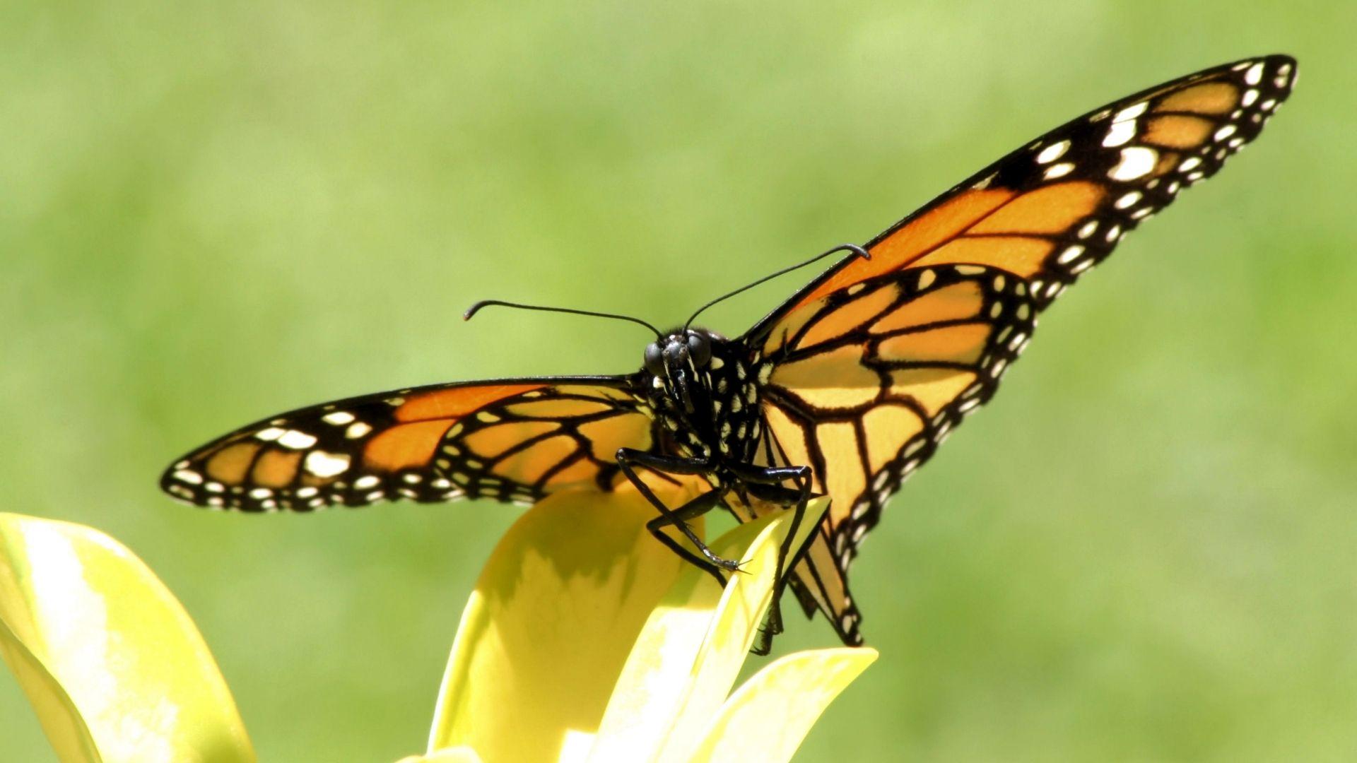 Butterfly Mariposa Monarca