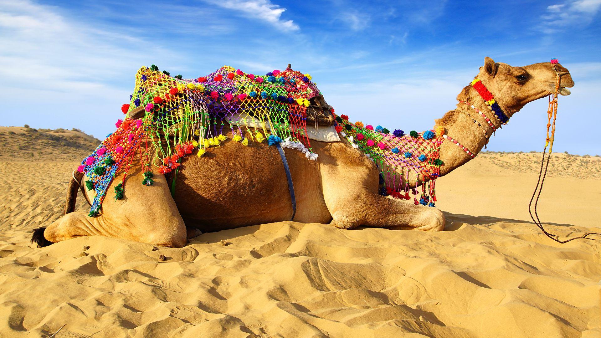 Camel Beautiful Photo