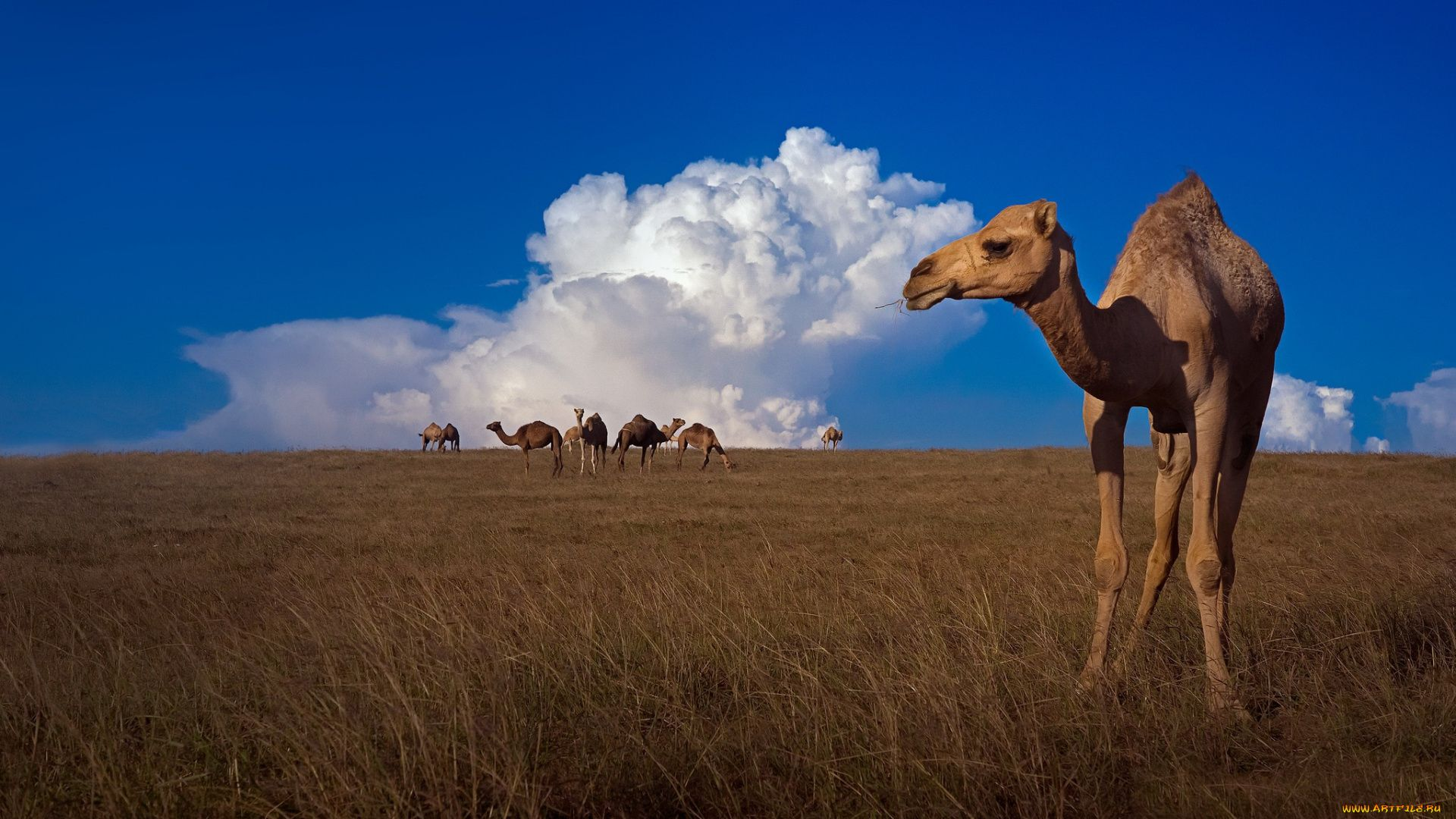 Camel Beautiful Pictures