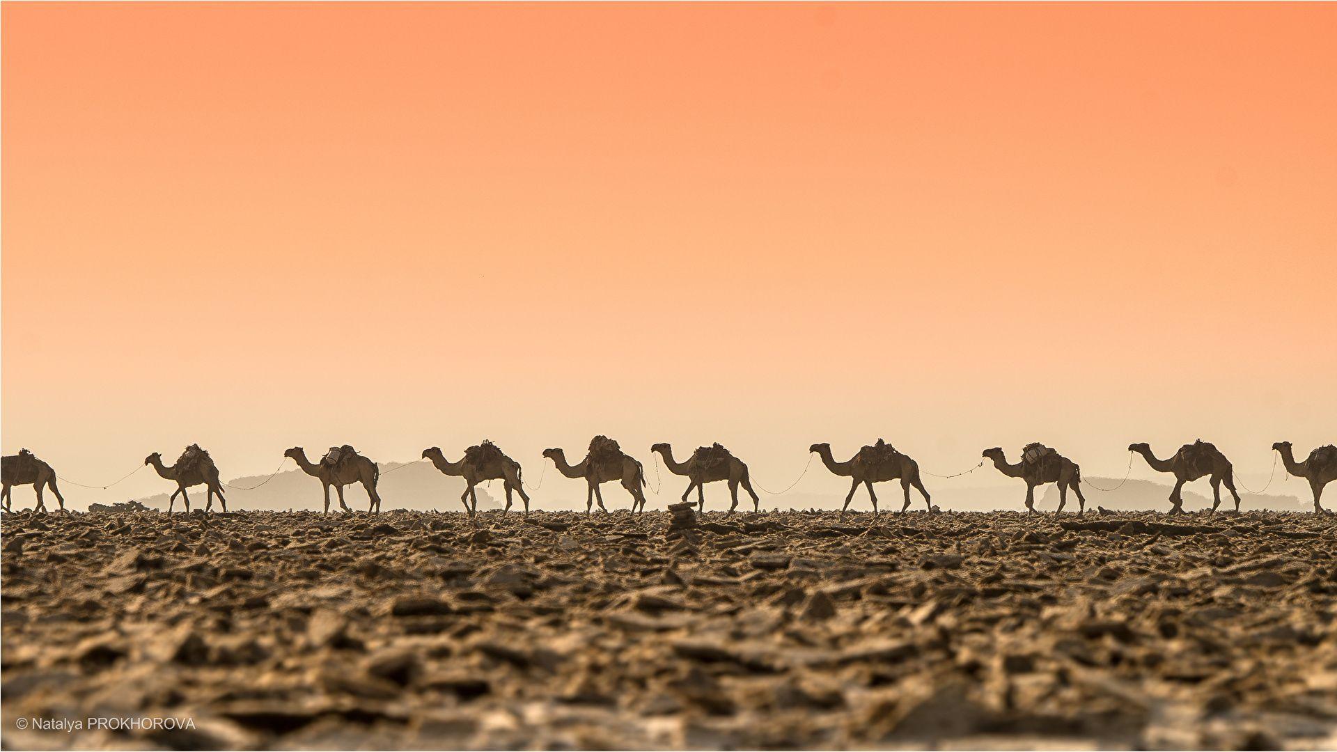Camel Caravan In The Desert At Night