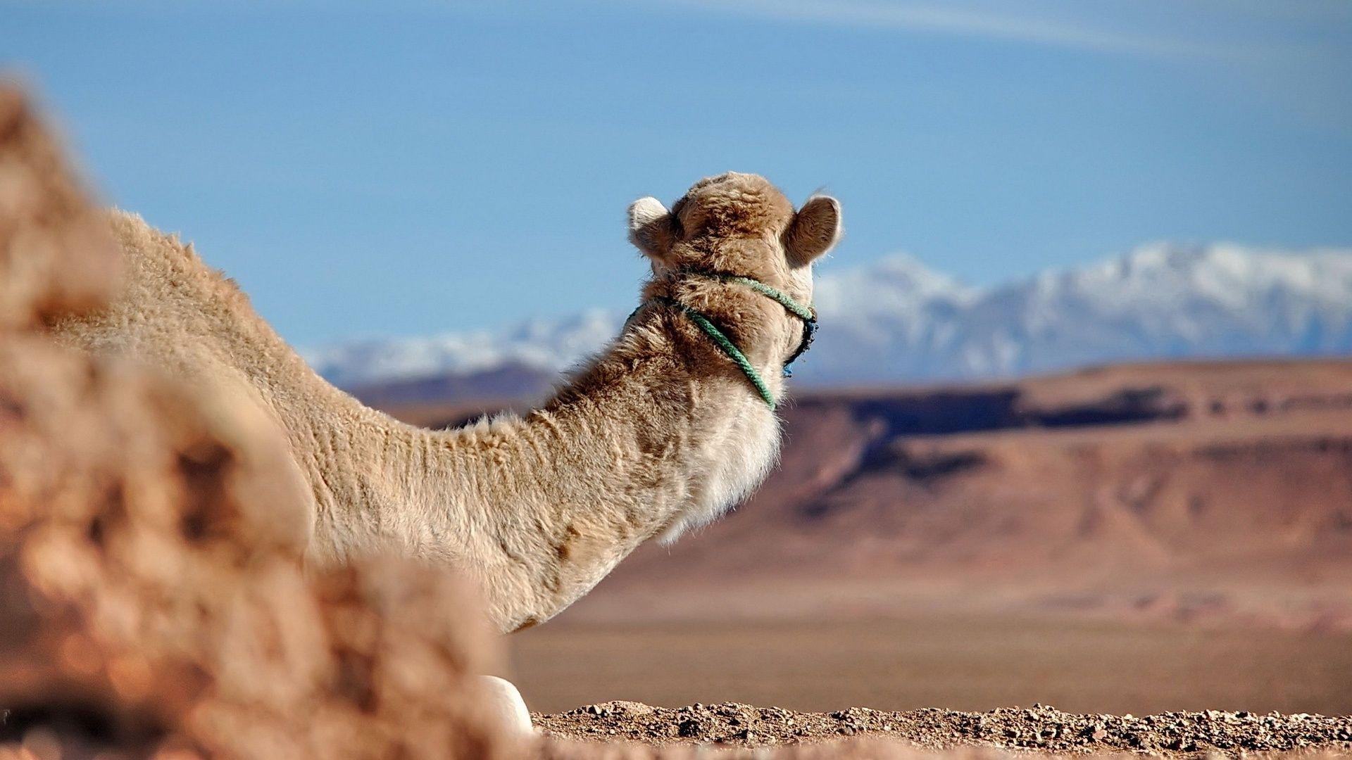 Camel Hd Photo