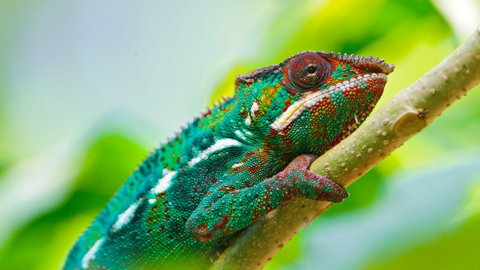 Chameleon Face
