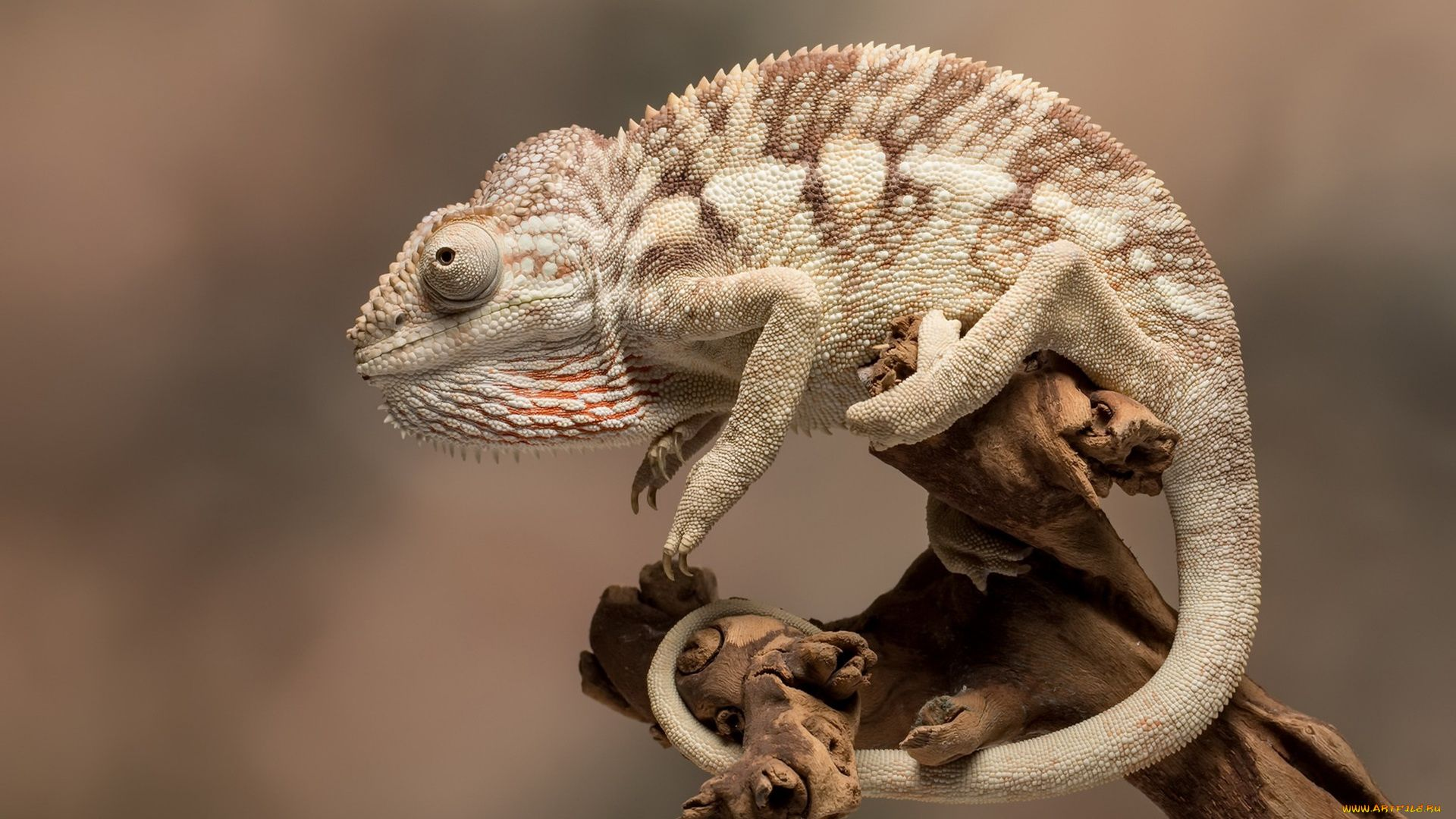 Chameleon Lizard Photo