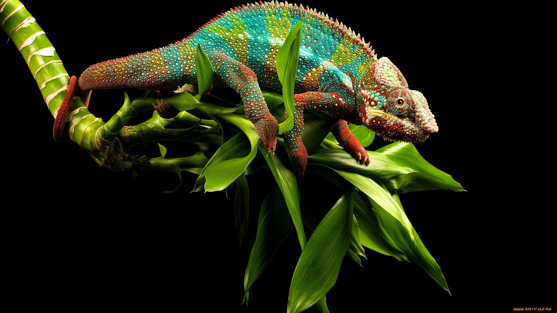 Chameleon On A Black Background