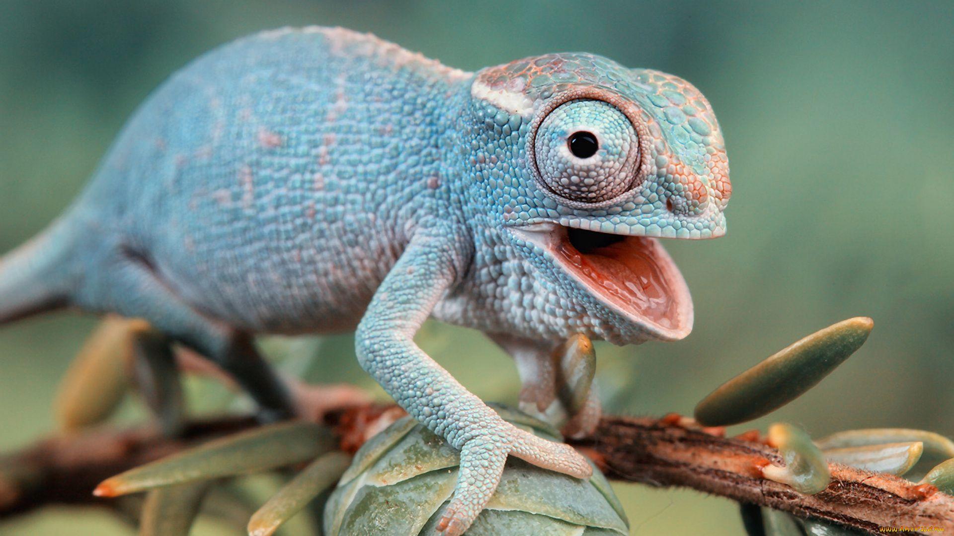Chameleon On A Branch Photo