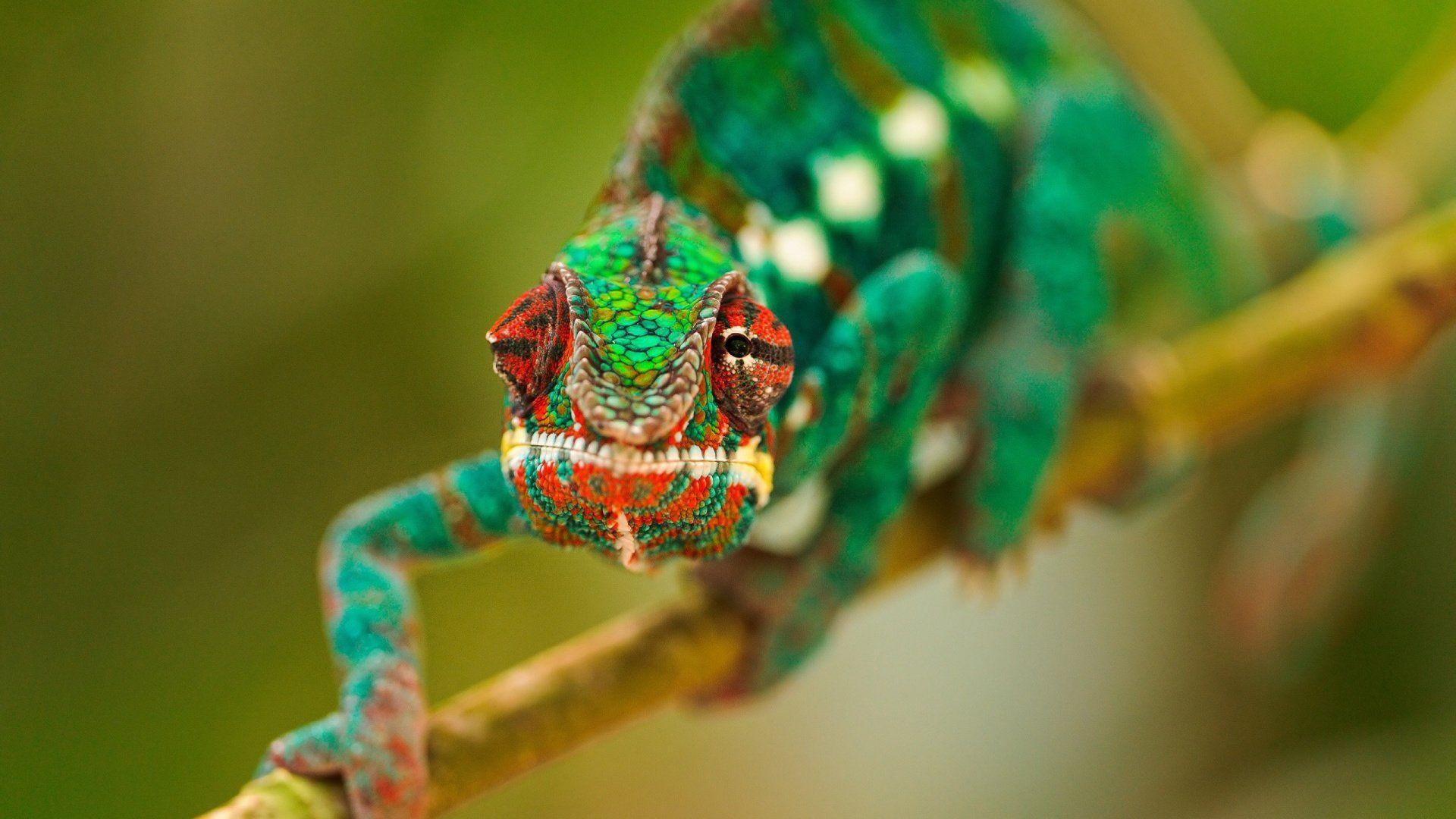 Chameleon Photo Beautiful