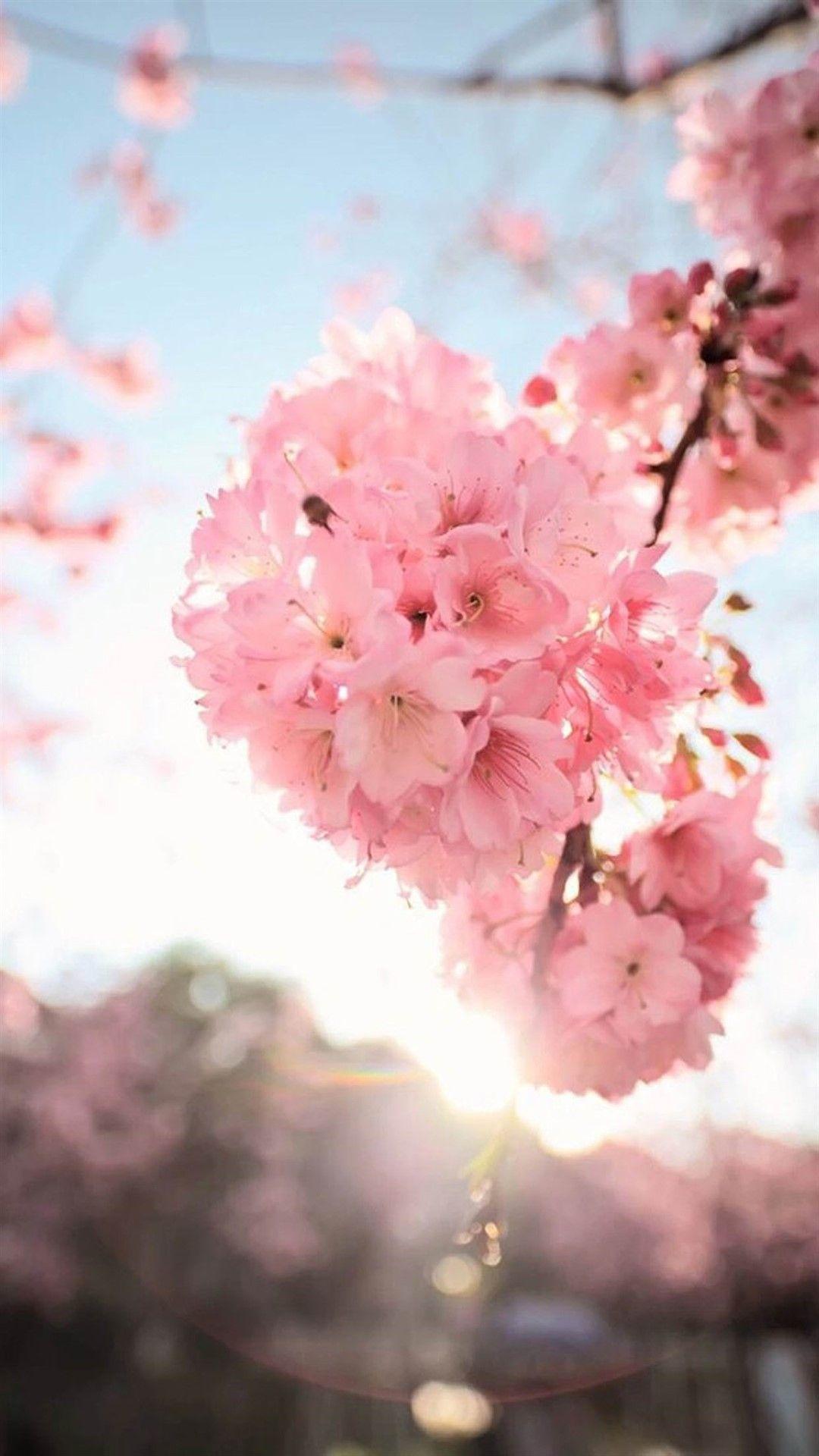 Cherry Blossoms Photos 1