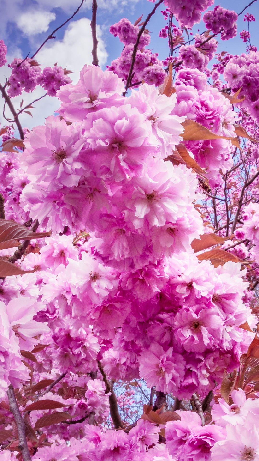 Cherry Blossoms Photos