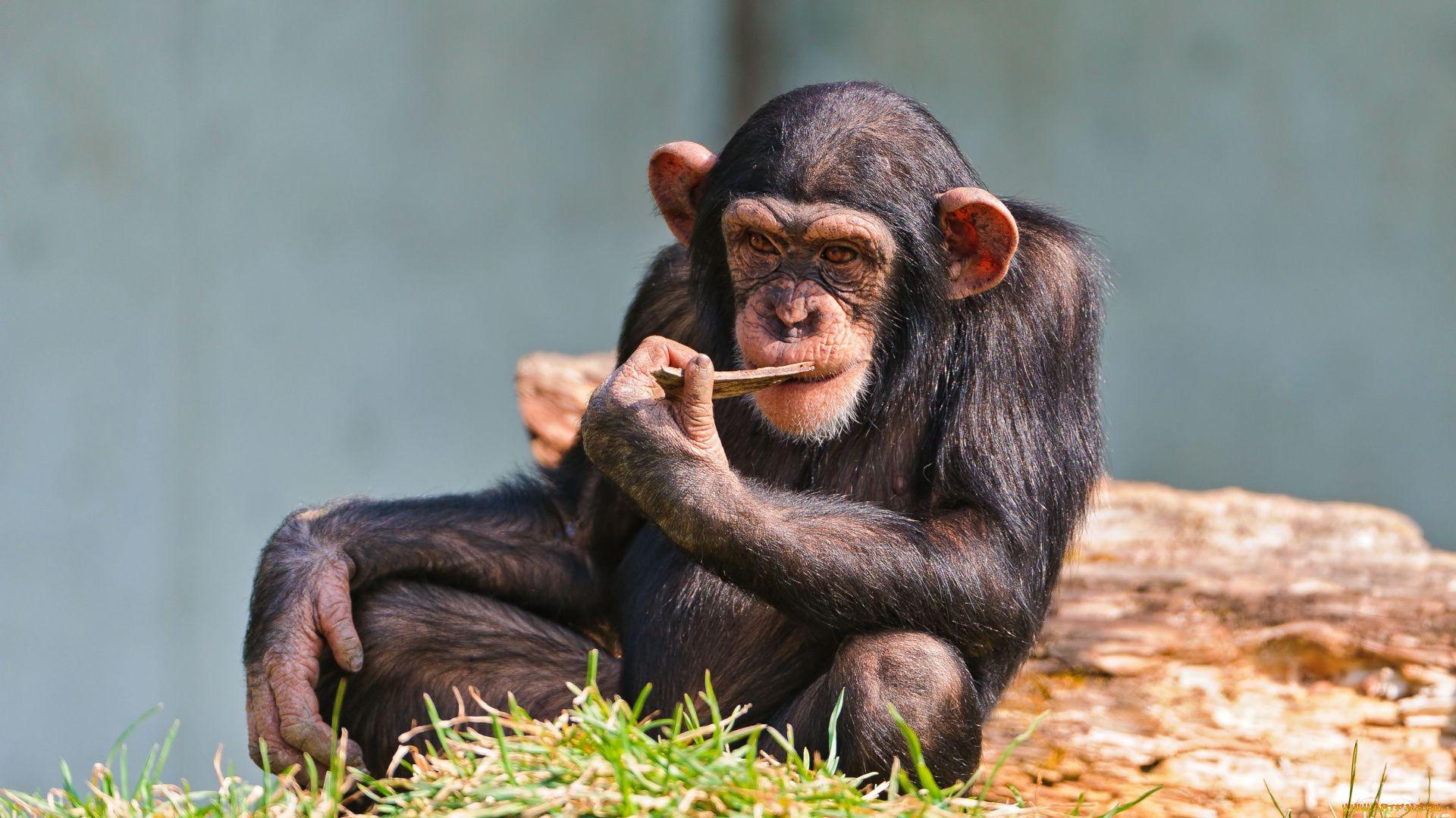 Chimp Photo