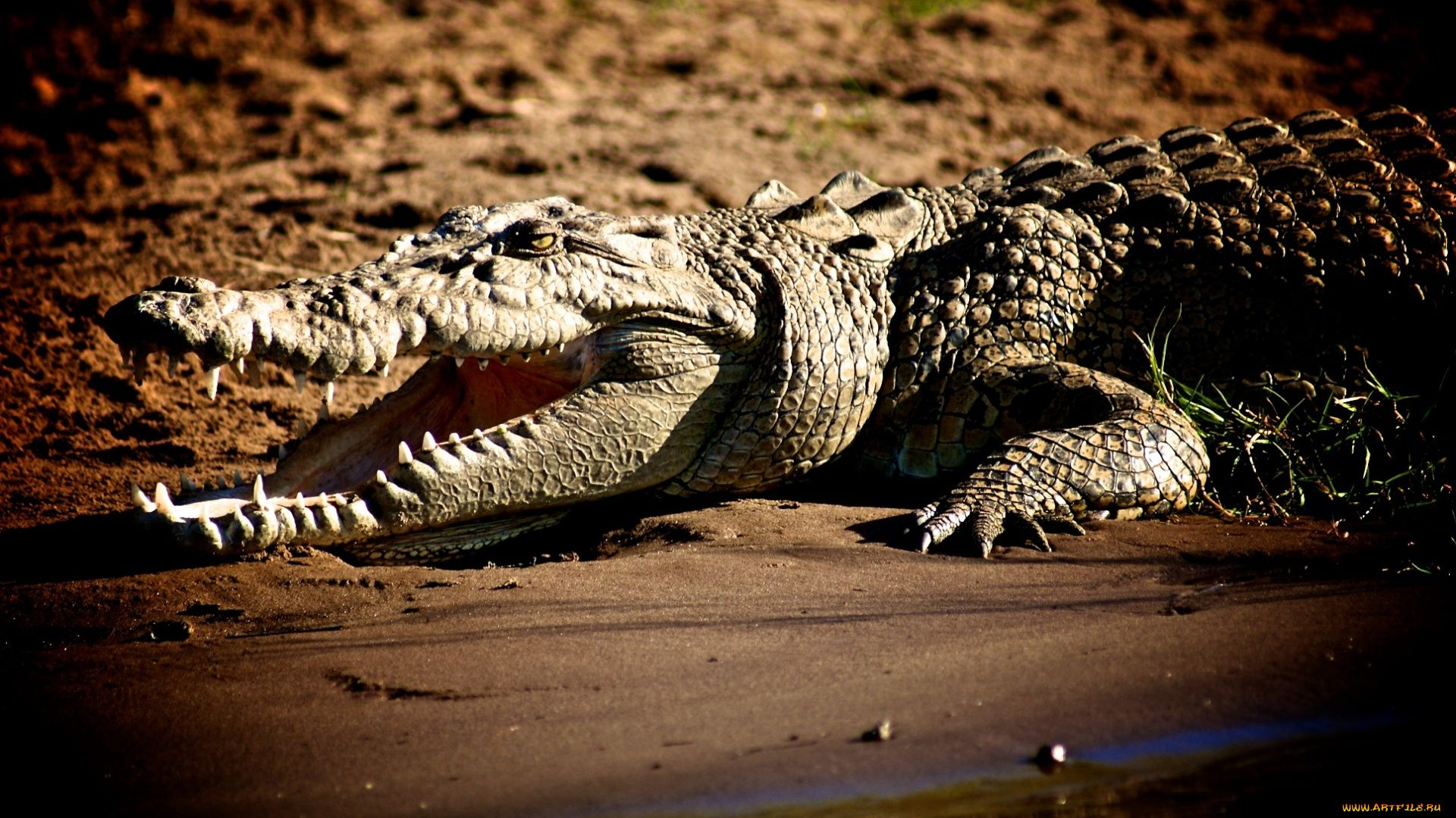 Crocodile Caiman Photos