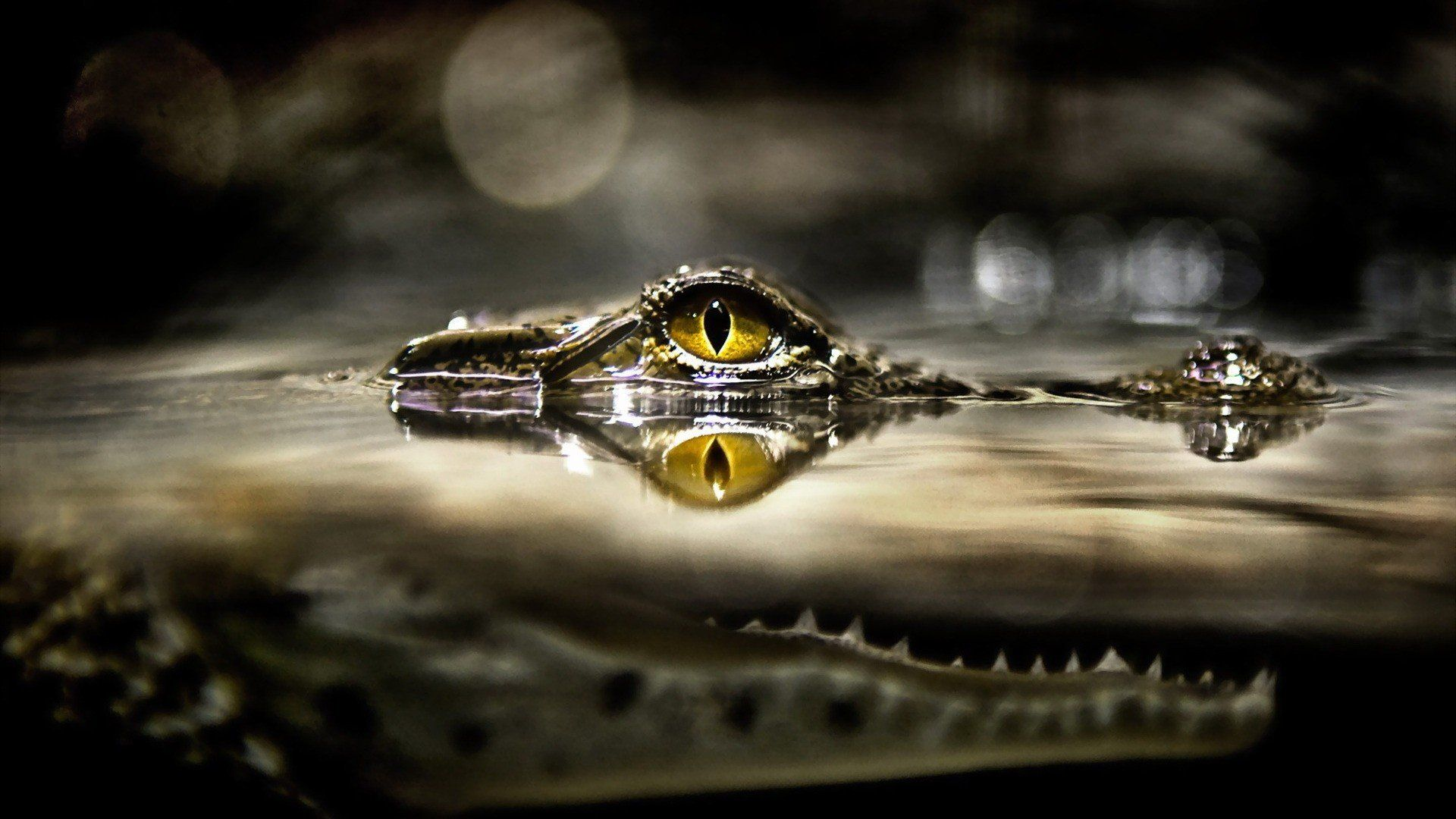 Crocodile Eyes Out Of The Water