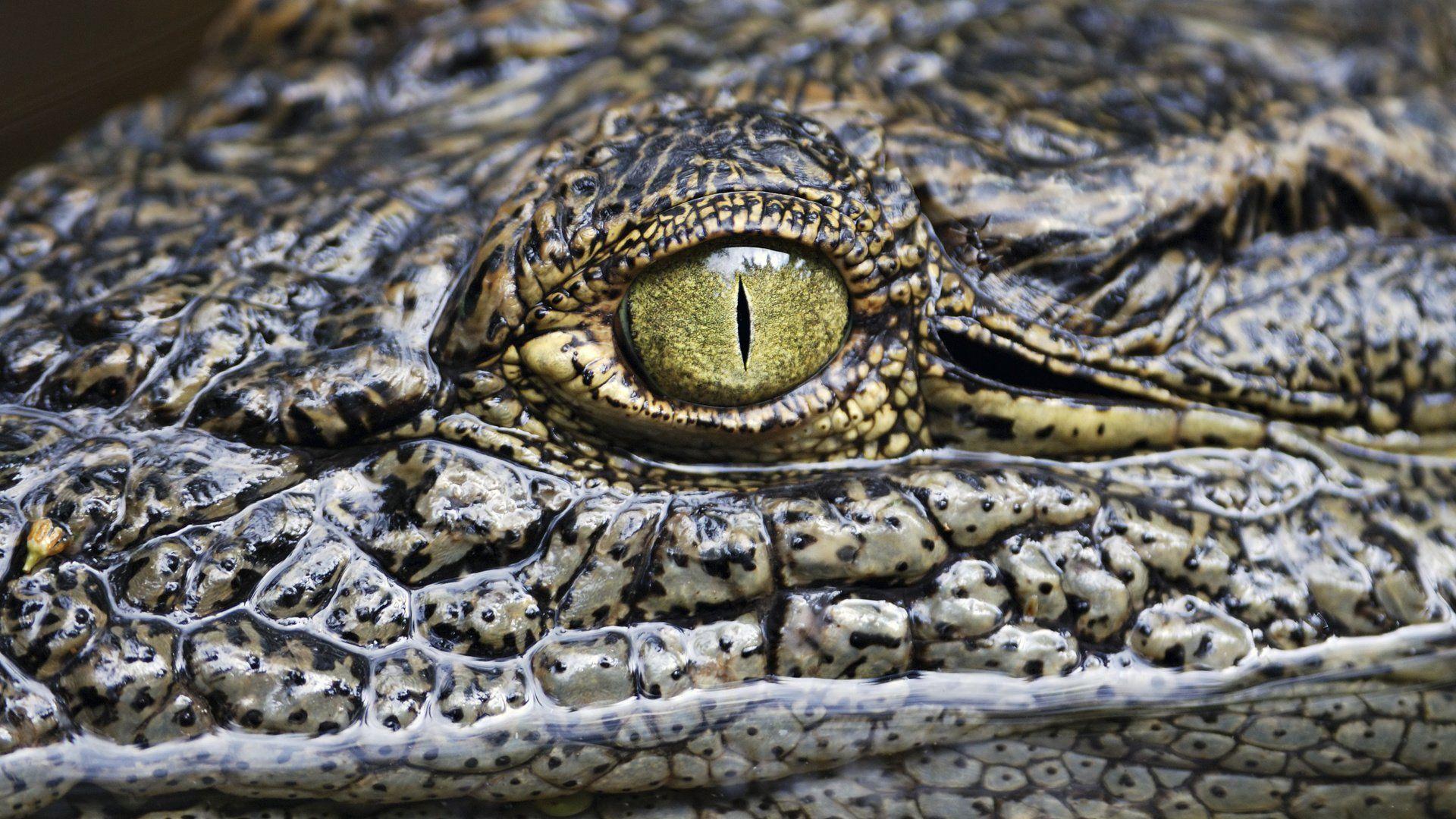 Crocodile Eyes Photo