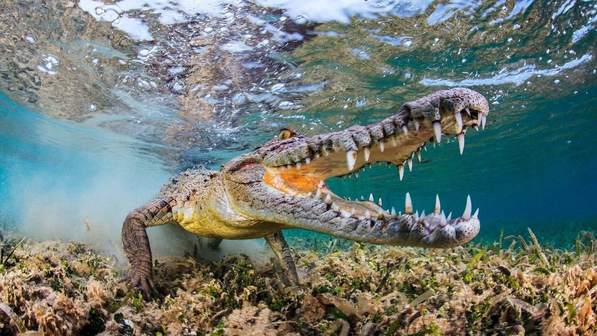 Crocodile Under Water Photos