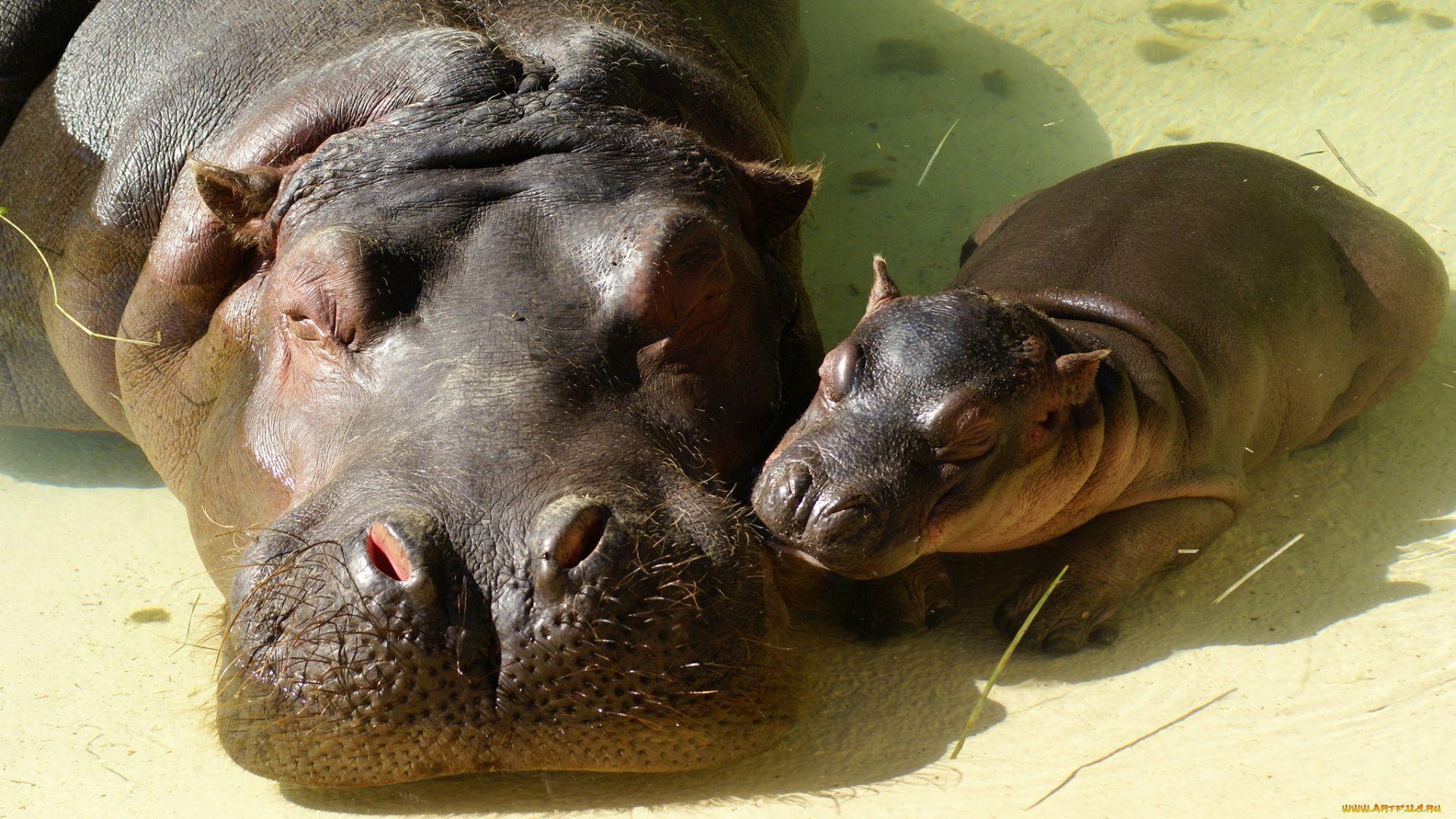 Cute Hippo Photos
