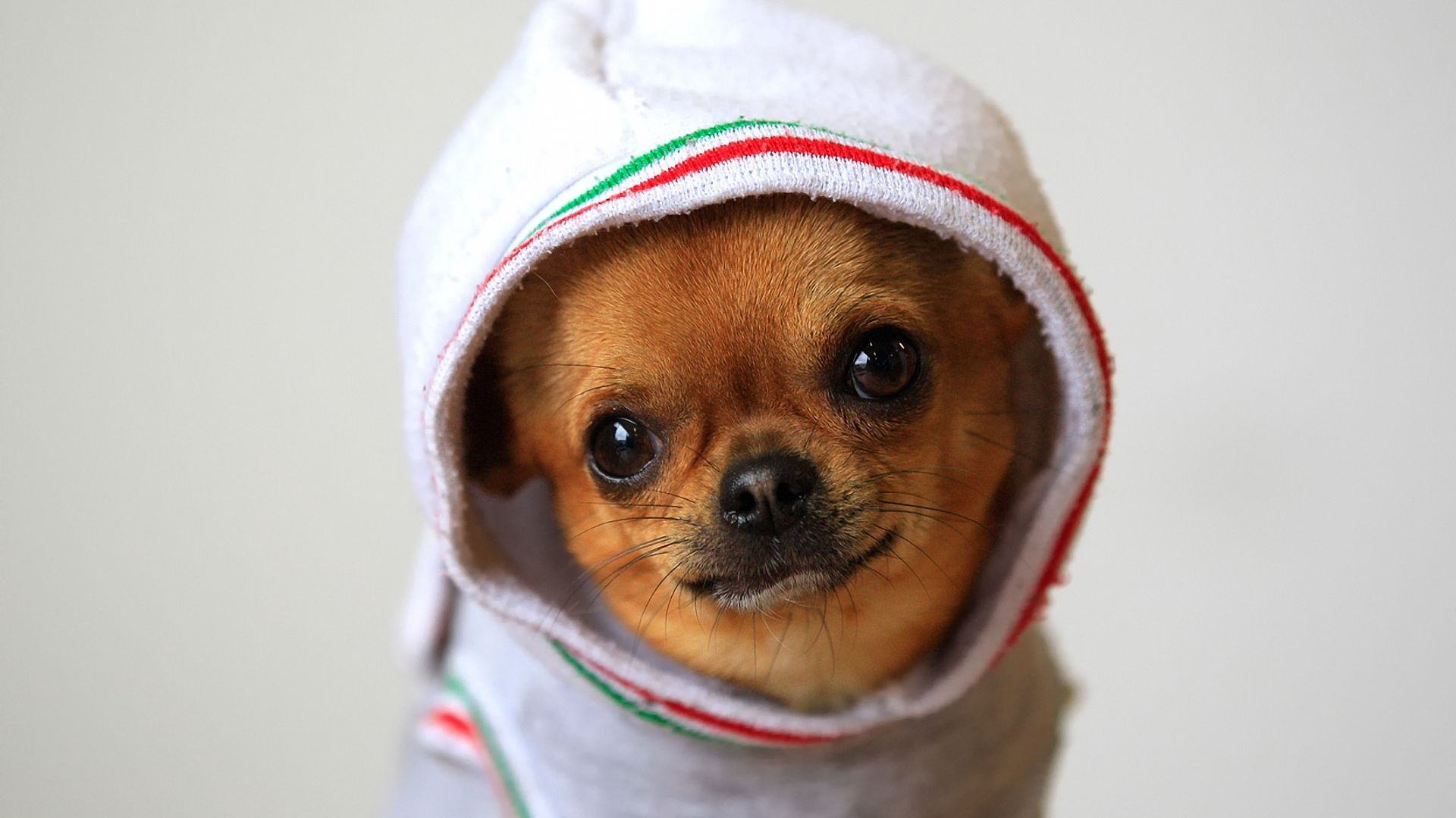 Cute Dog Chihuahua In Clothes