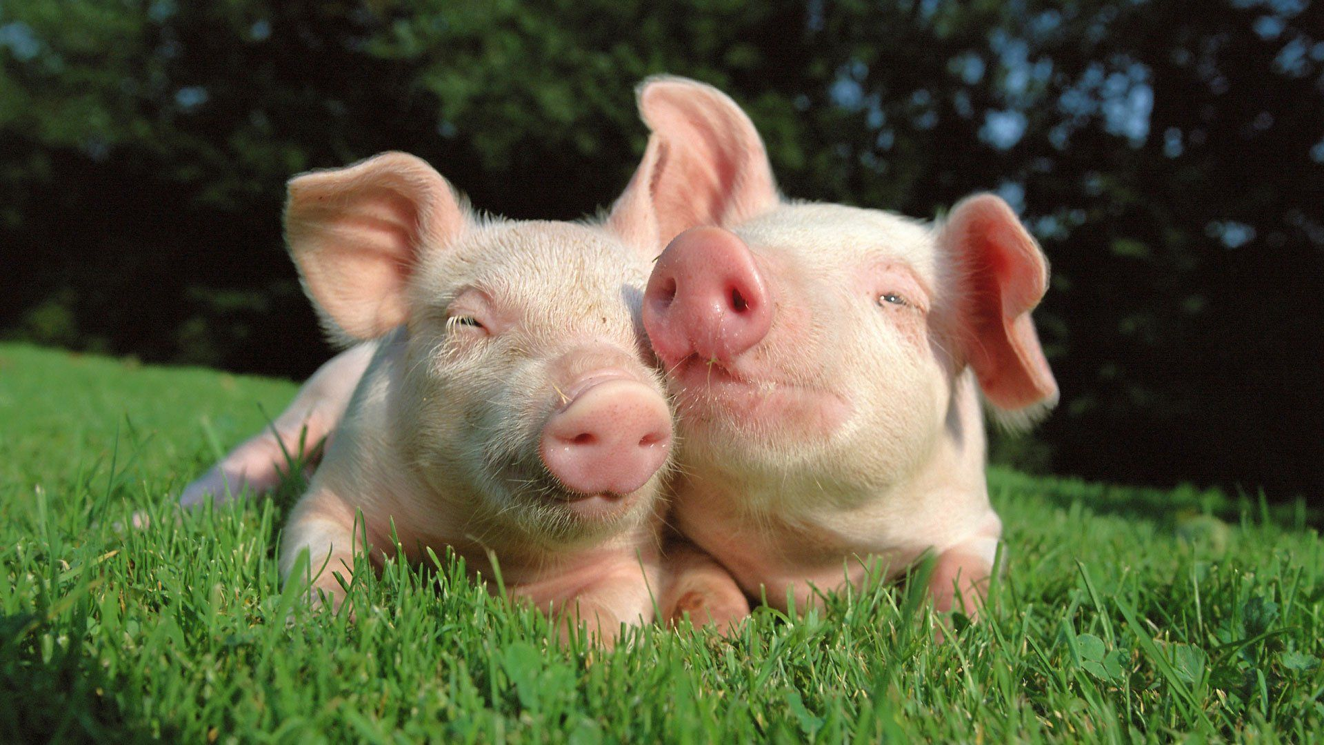 Cute Pigs Pictures