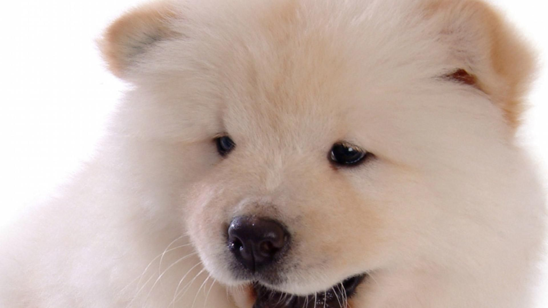 Cute Puppies Chow Chow