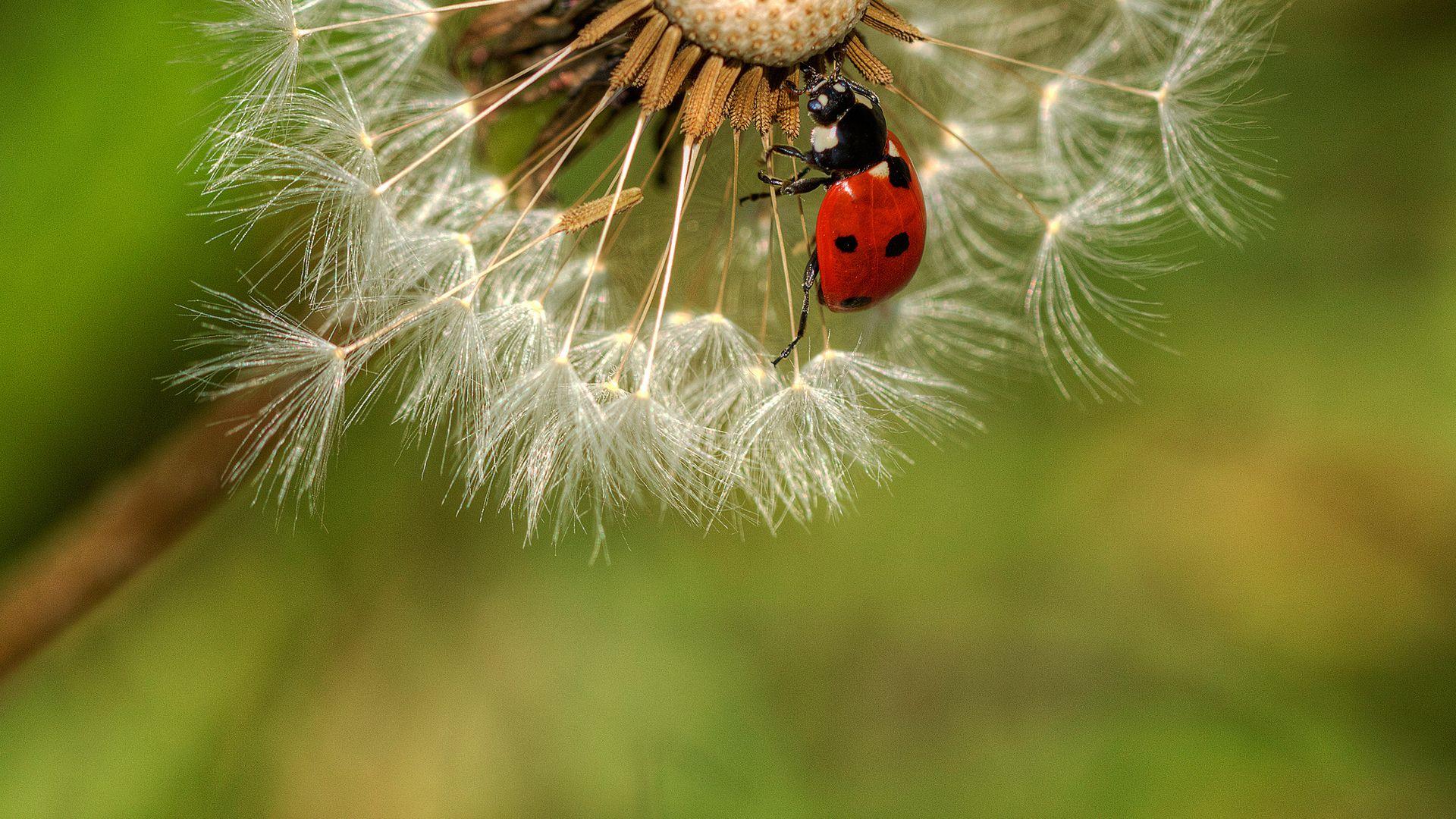 Dandelions Ladybugs Picture