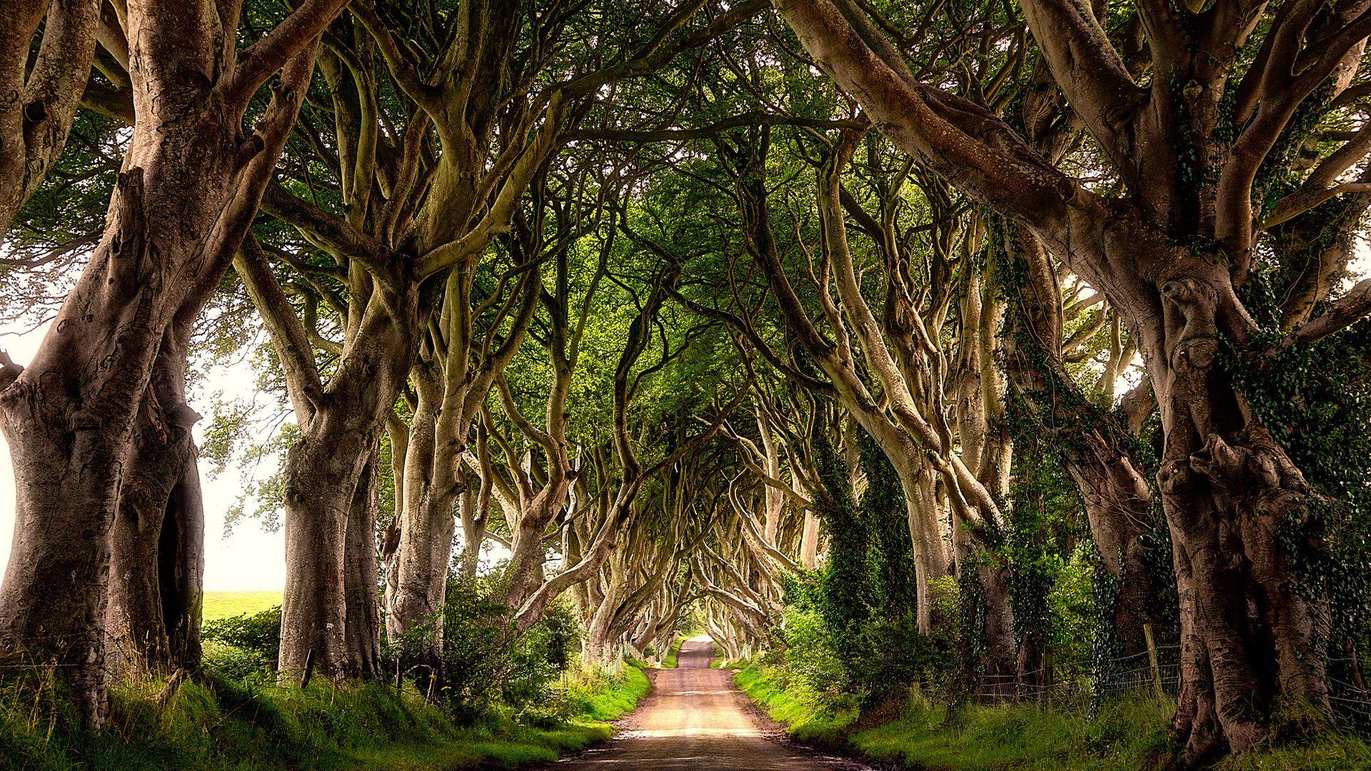 Dark Beech Avenue Ireland
