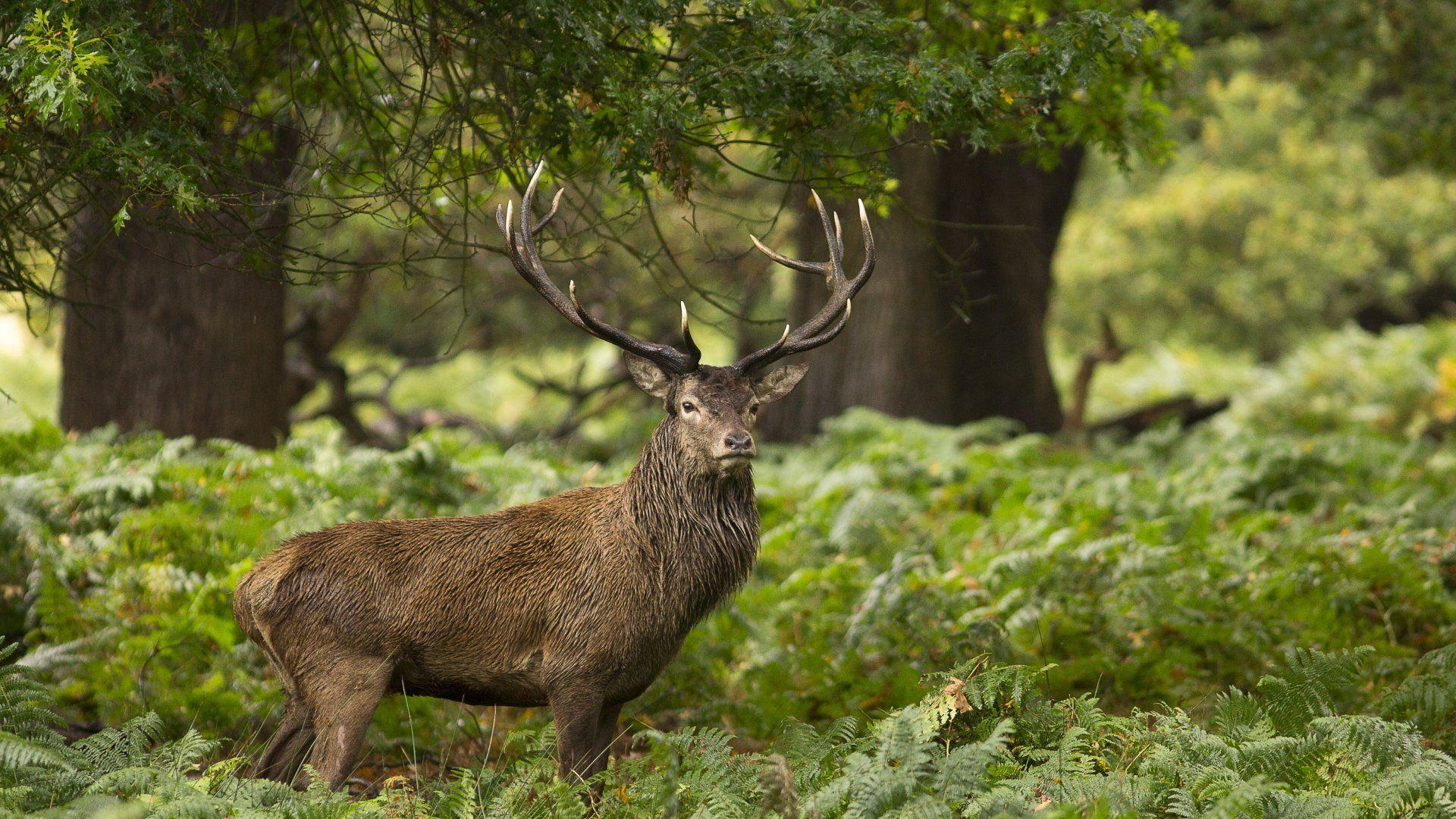 Deer In The Forest Wallpaper