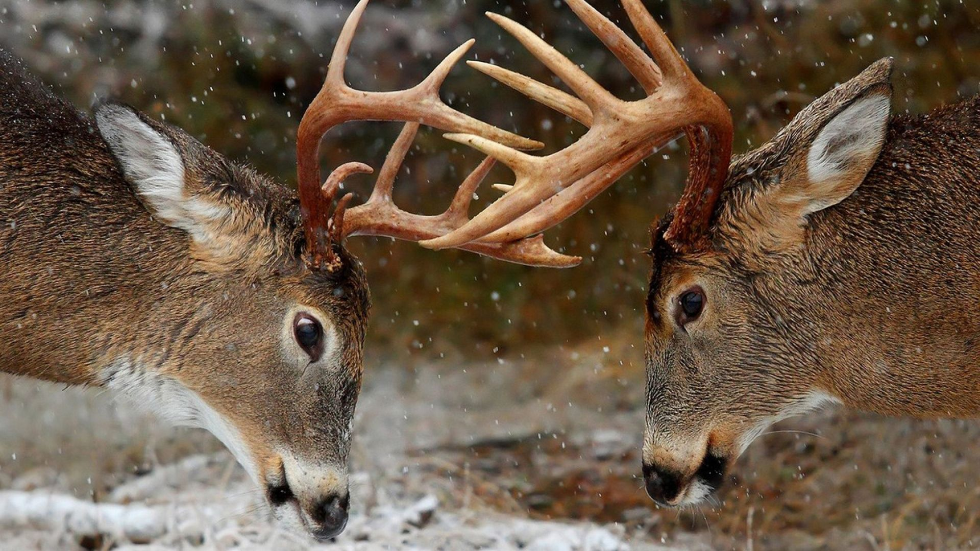 Deer In The Winter Forest Photo