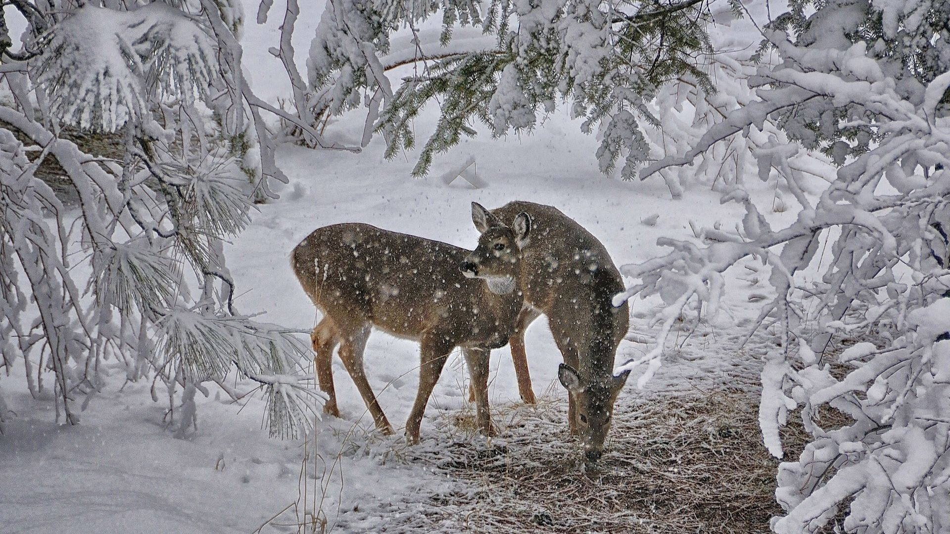 Deer In The Woods Winter