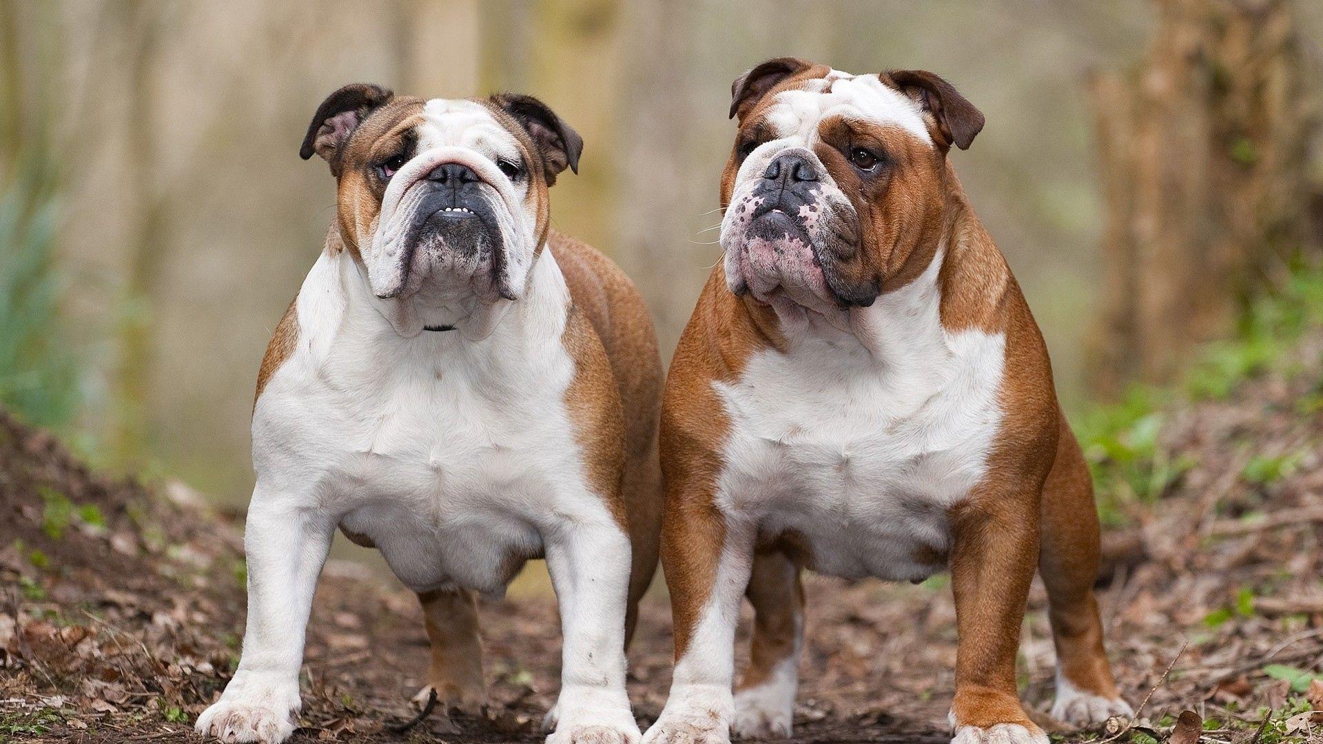 Dog English Bulldog Photo