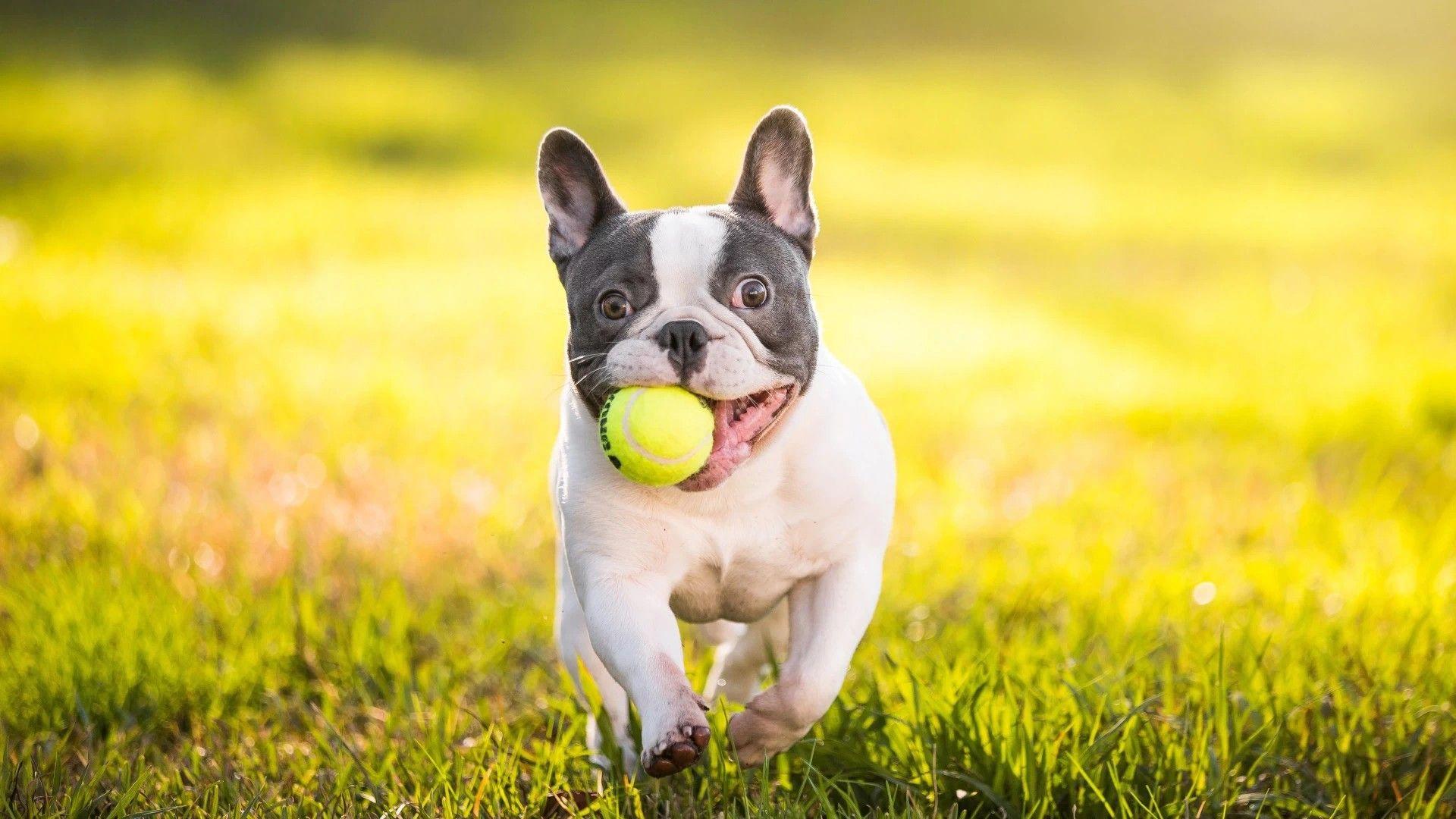 Dog French Bulldog Photo