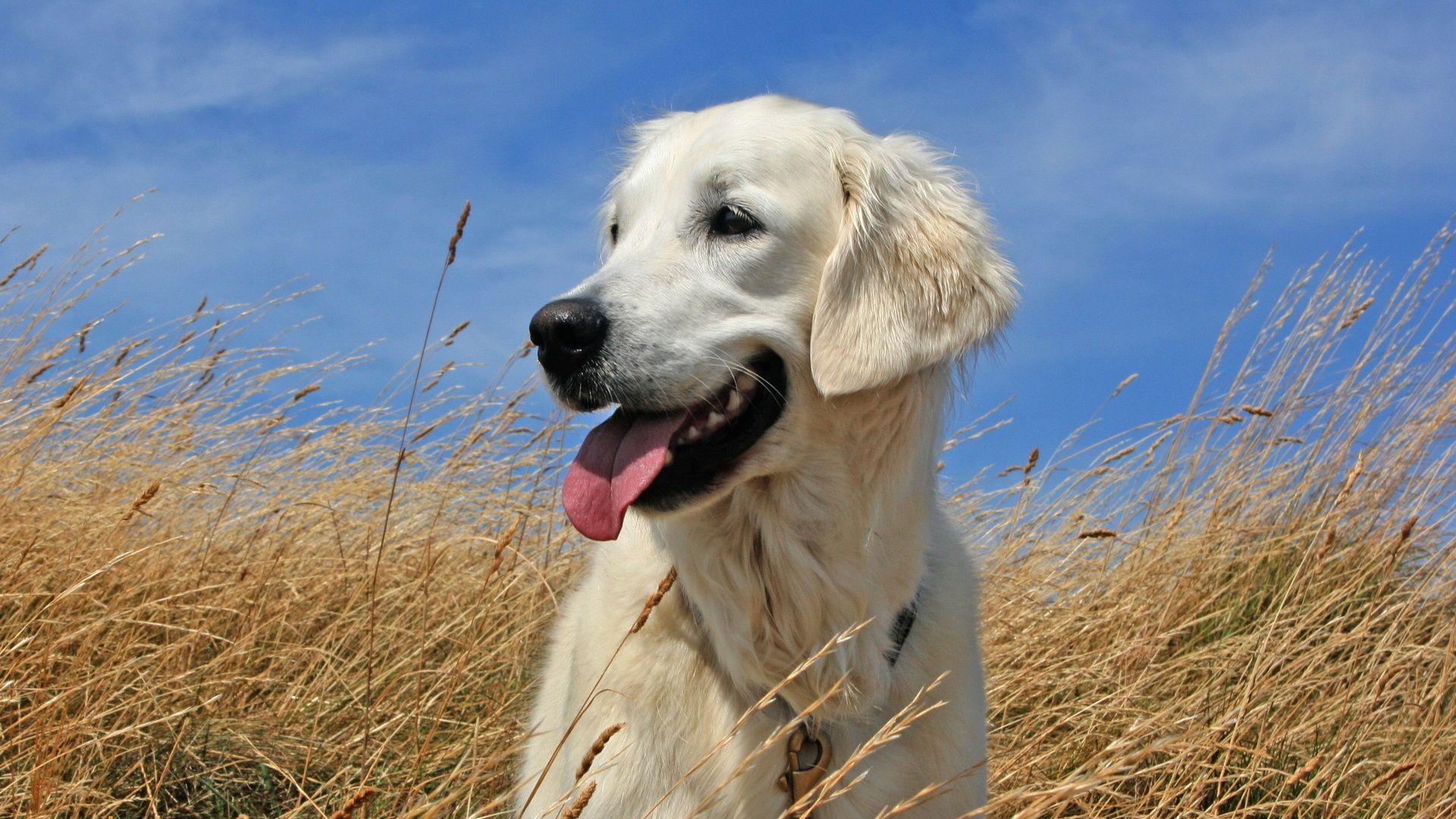 Dog Golden Retriever