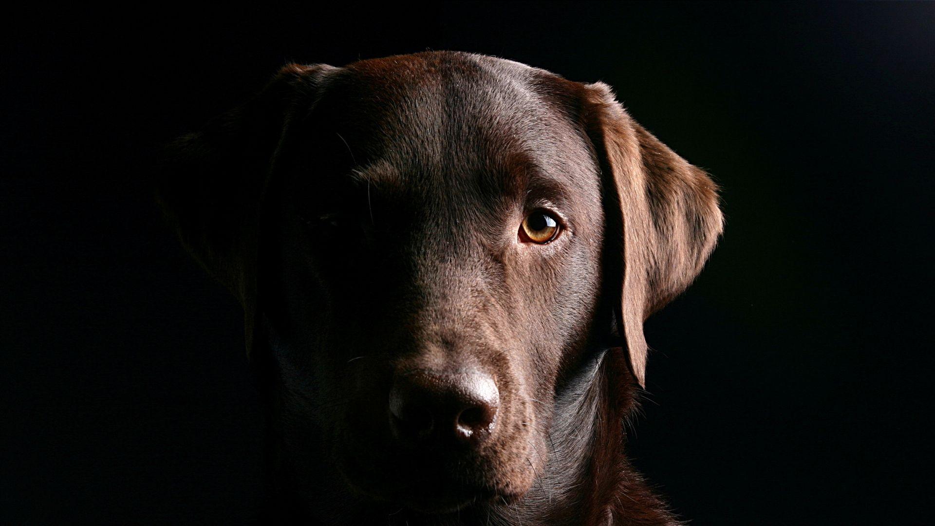 Dog On Black Background Wallpaper