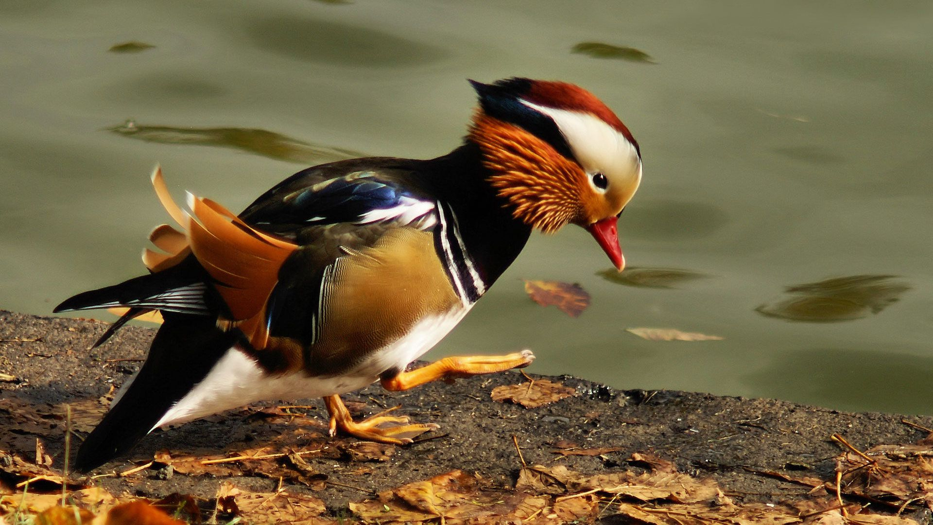 Duck Mandarin Duck Male Photos