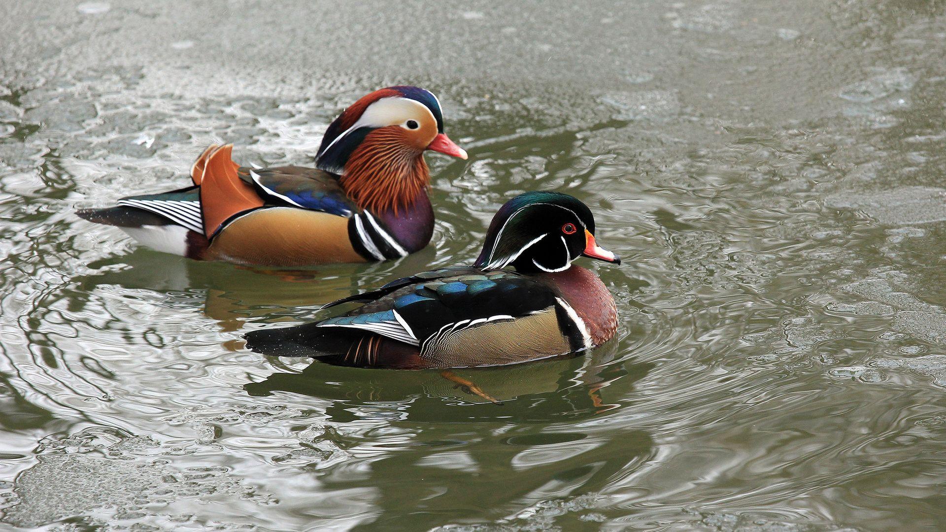 Duck Mandarin Duck Pictures